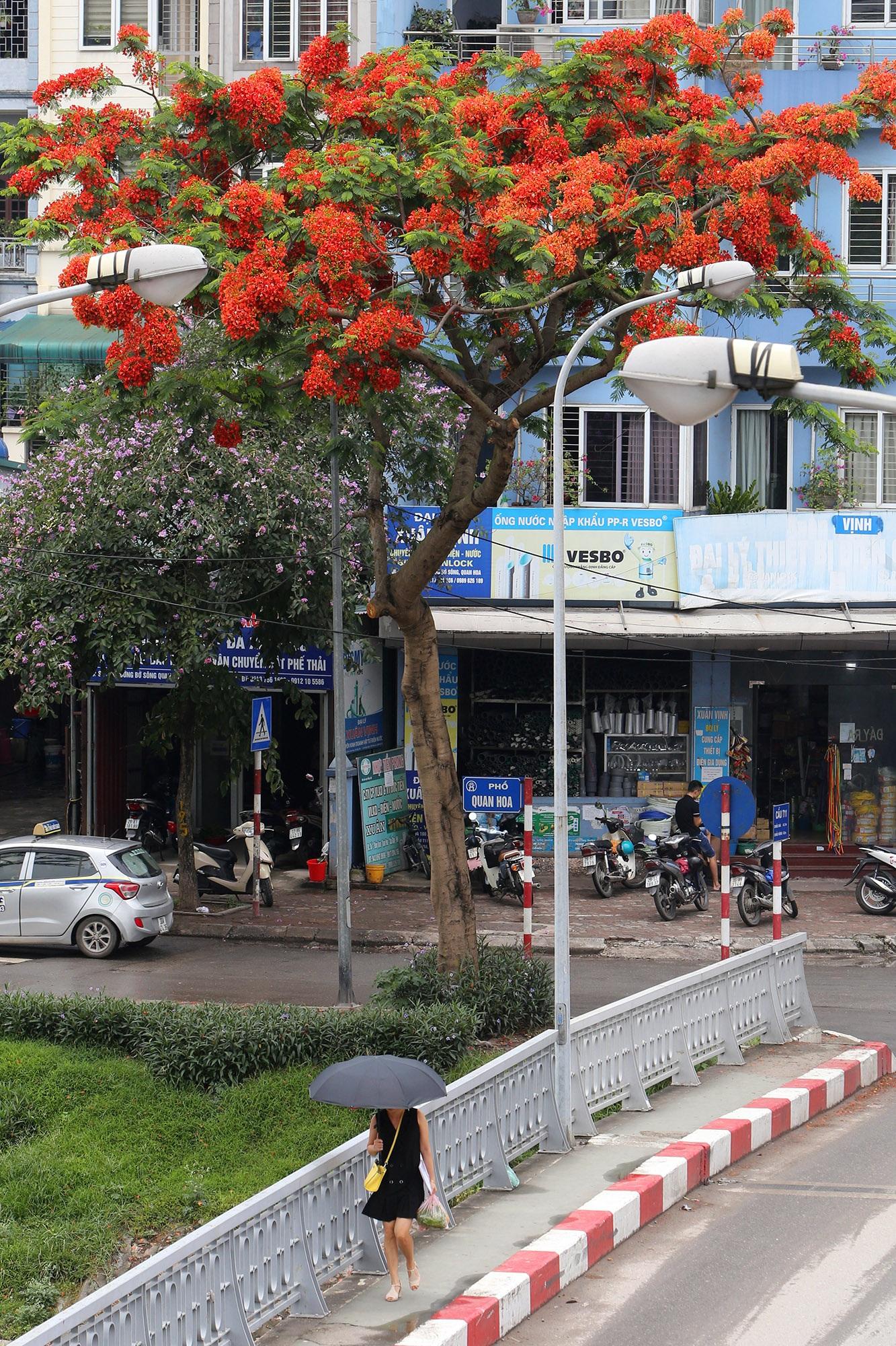 Hoa phượng đỏ rực rỡ khắp Hà Nội - 11
