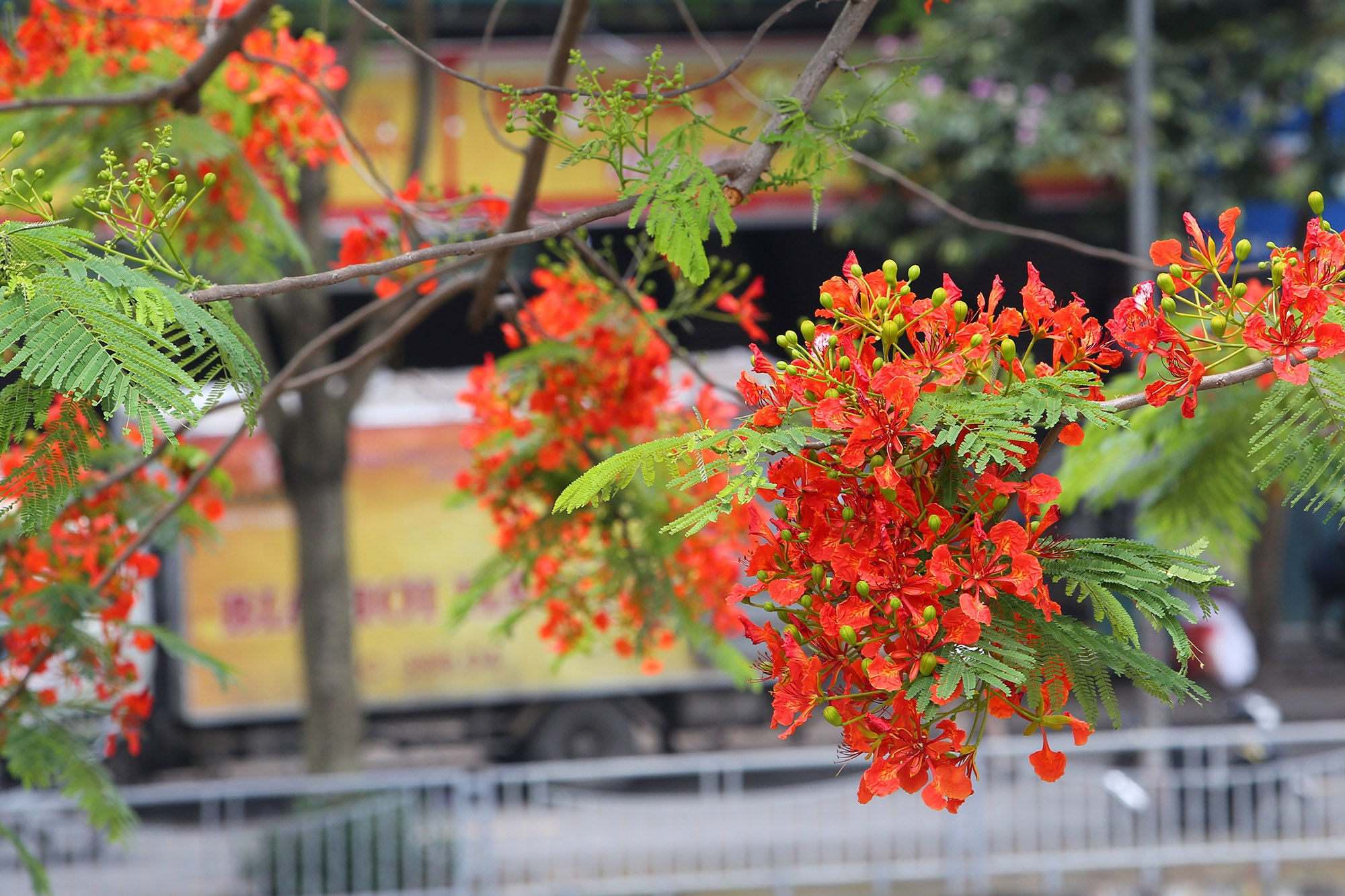 Hoa phượng đỏ rực rỡ khắp Hà Nội - 13
