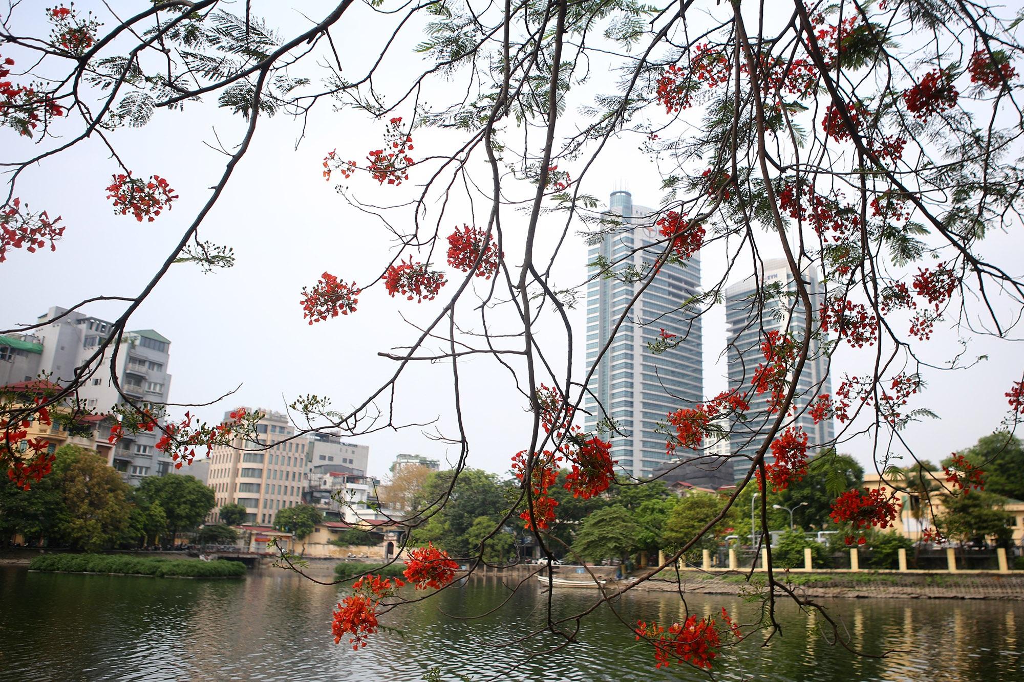 Hoa phượng đỏ rực rỡ khắp Hà Nội - 14