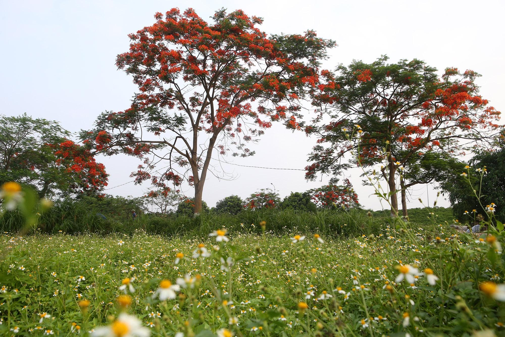 Hoa phượng đỏ rực rỡ khắp Hà Nội - 1