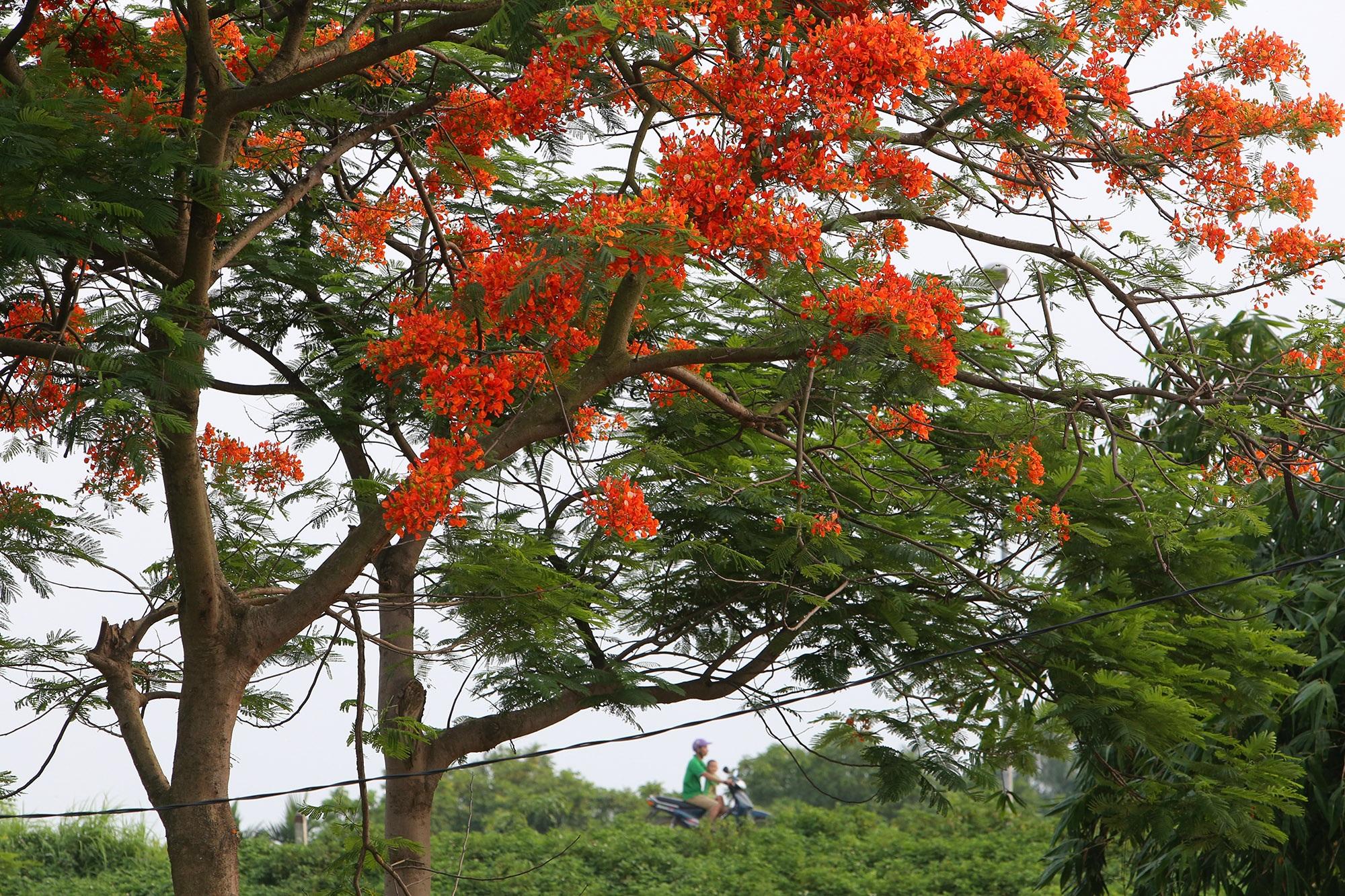 Hoa phượng đỏ rực rỡ khắp Hà Nội - 5