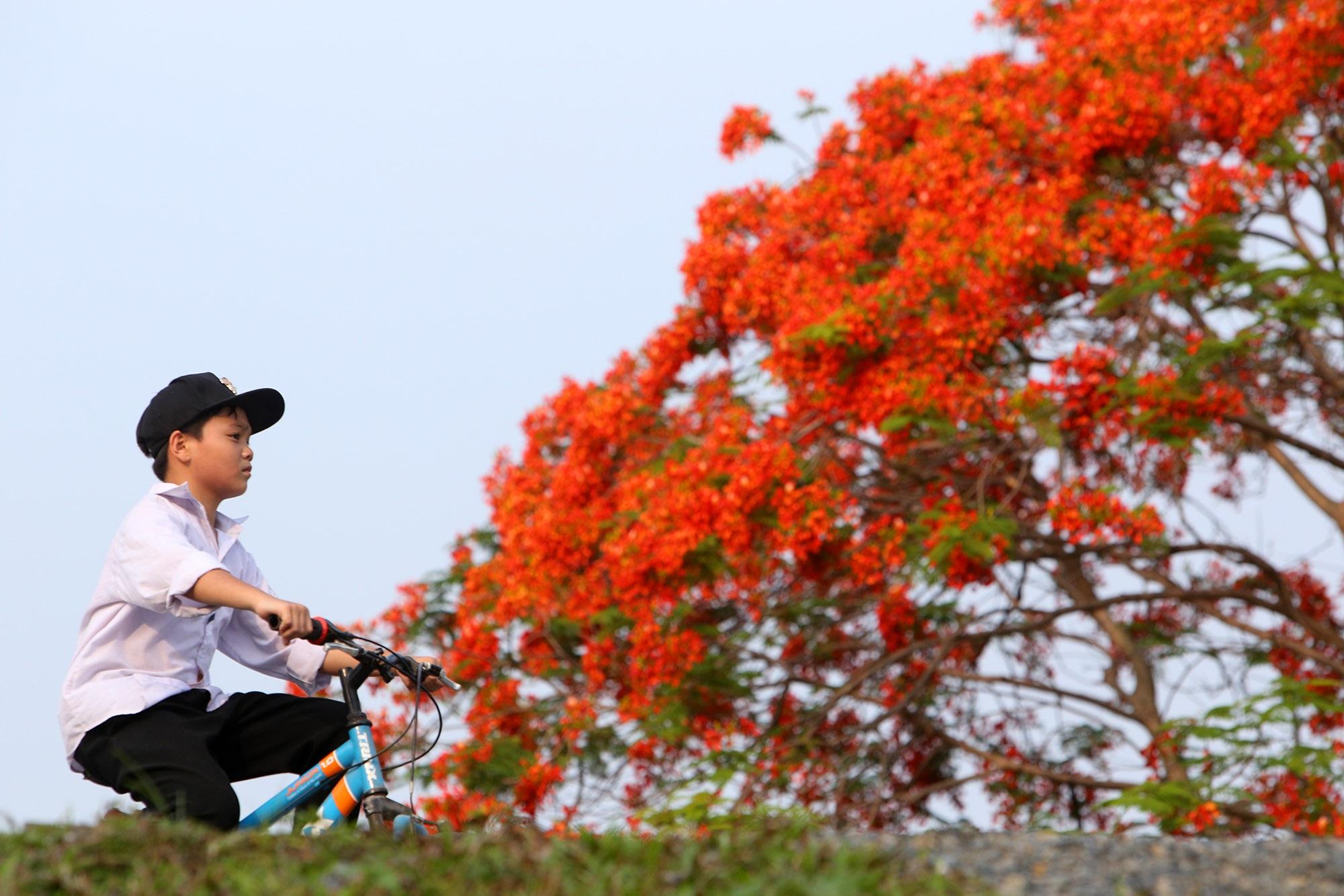 Hoa phượng đỏ rực rỡ khắp Hà Nội - 6