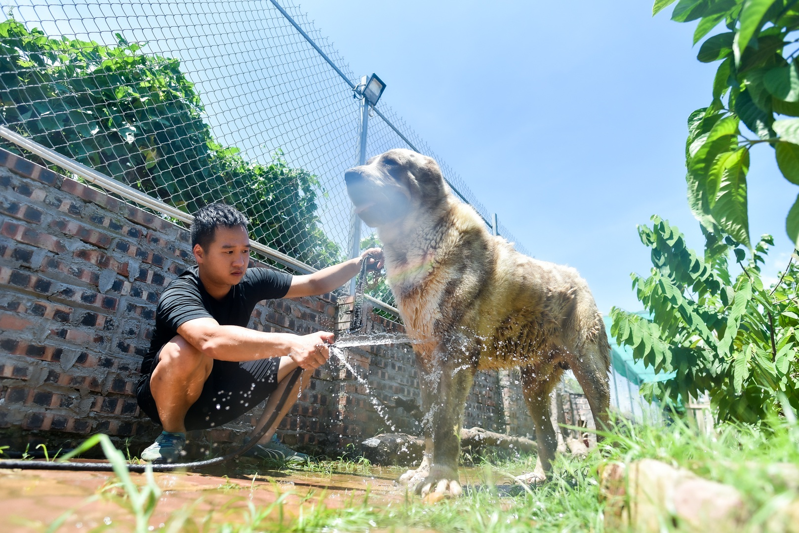 9x cực nhọc chống nóng cho đàn chó khổng lồ giá hàng trăm triệu đồng - 4