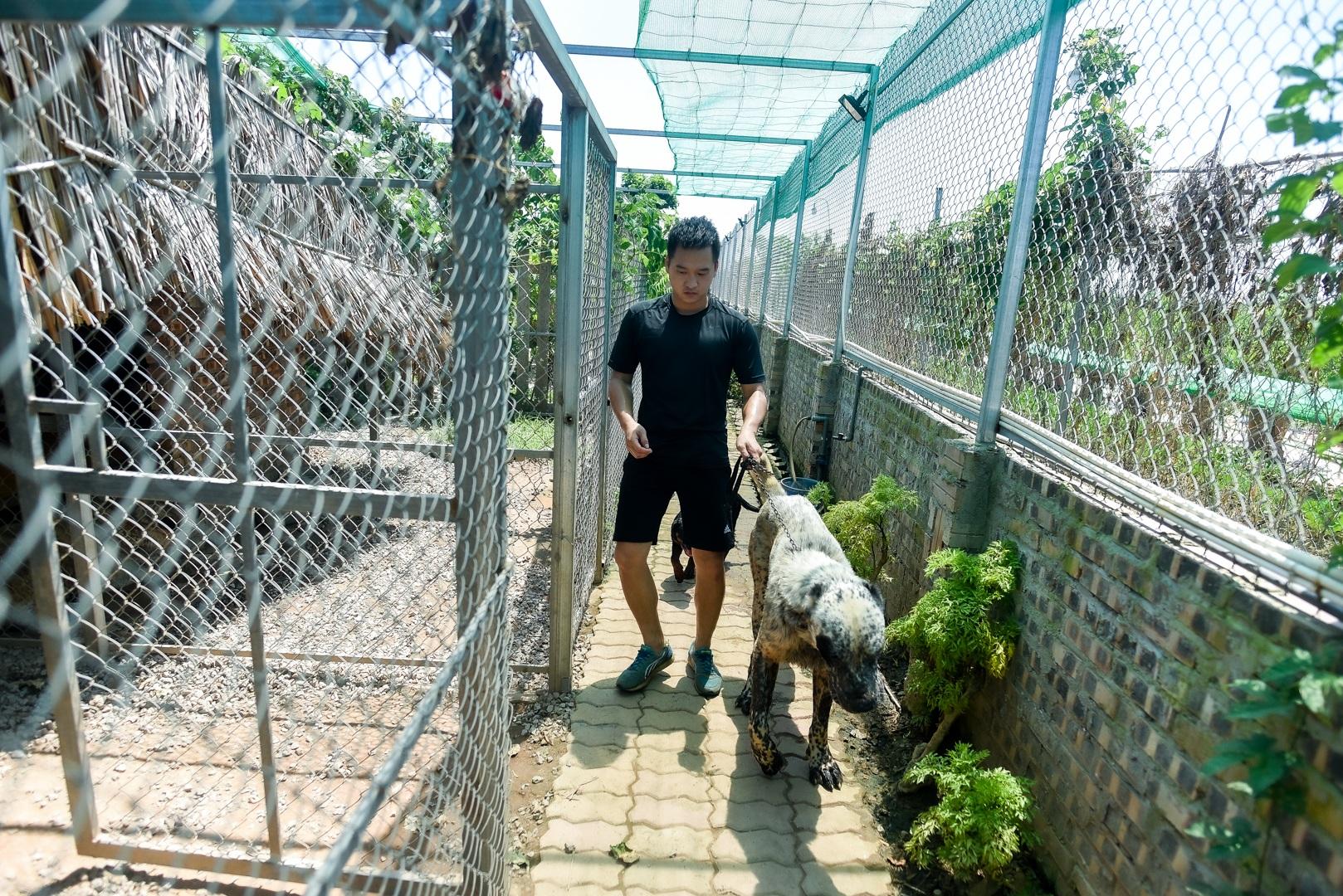 9x cực nhọc chống nóng cho đàn chó khổng lồ giá hàng trăm triệu đồng - 1