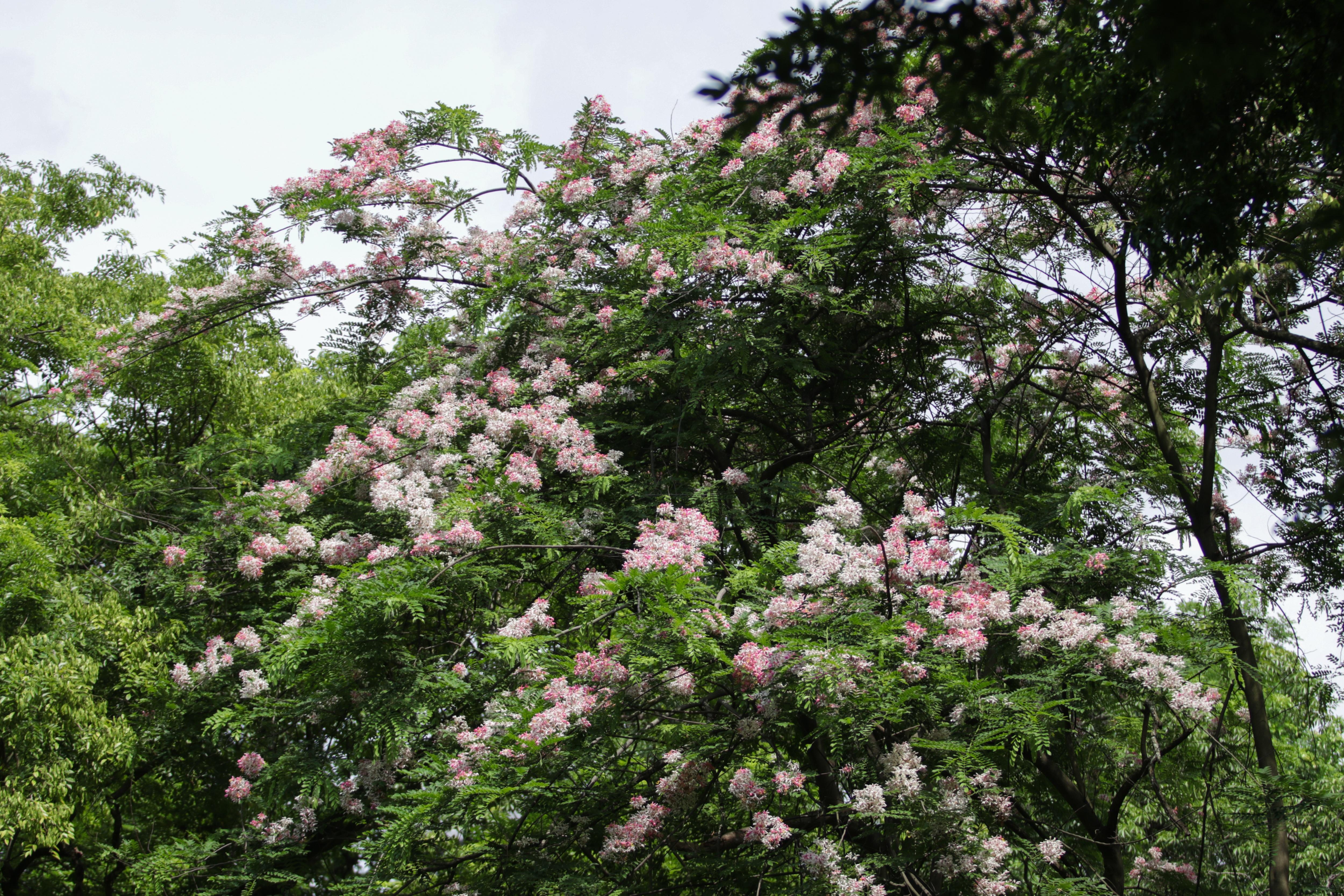 Ngắm muồng hoa đào bung nở đẹp mê hồn ở Hà Nội - 2