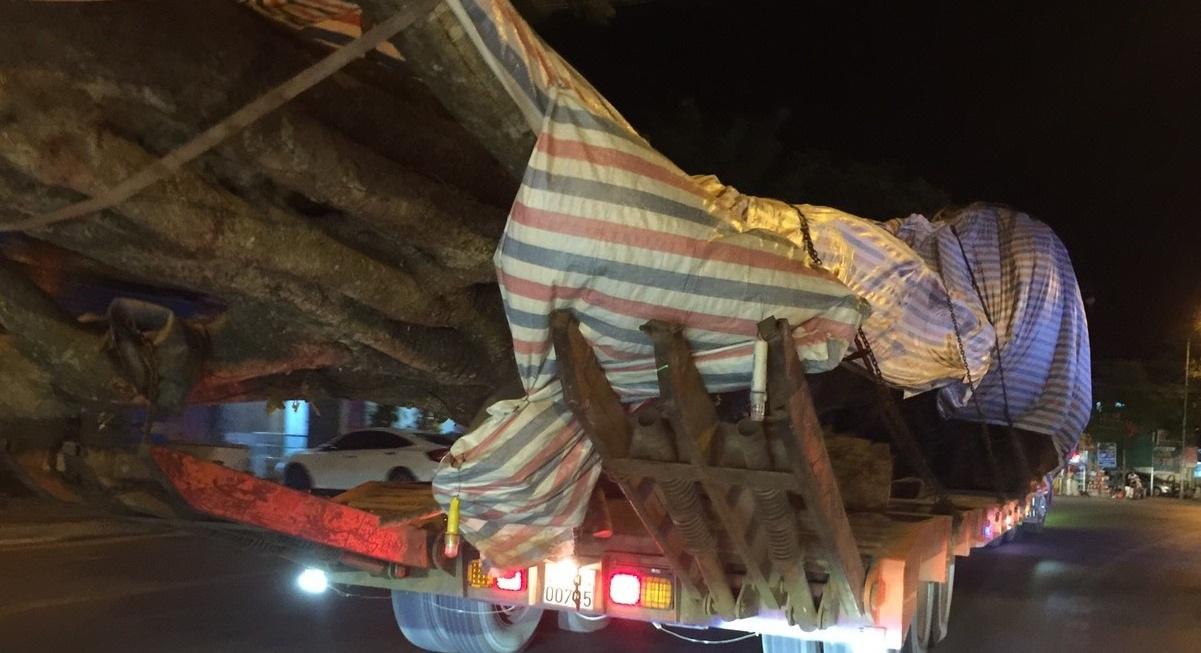 Cận cảnh xe chở cây quái thú vô tư chạy trên đường - 5