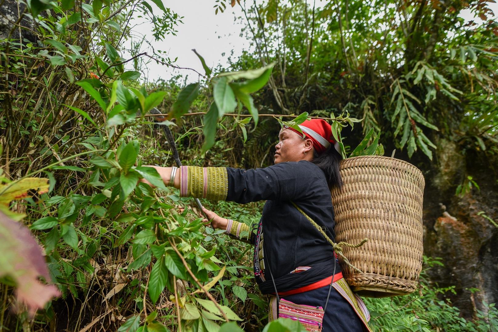 Băng rừng theo người Dao đỏ Sapa đi hái lá thuốc tắm thần dược - 2