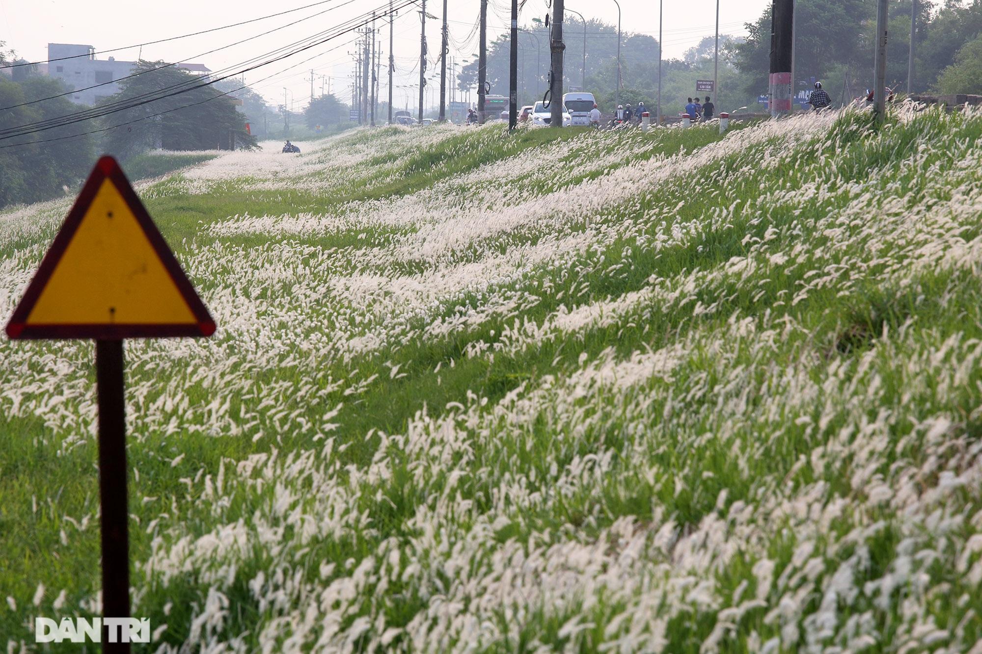 Thiên đường cỏ tranh trắng muốt tại Hà Nội - 1