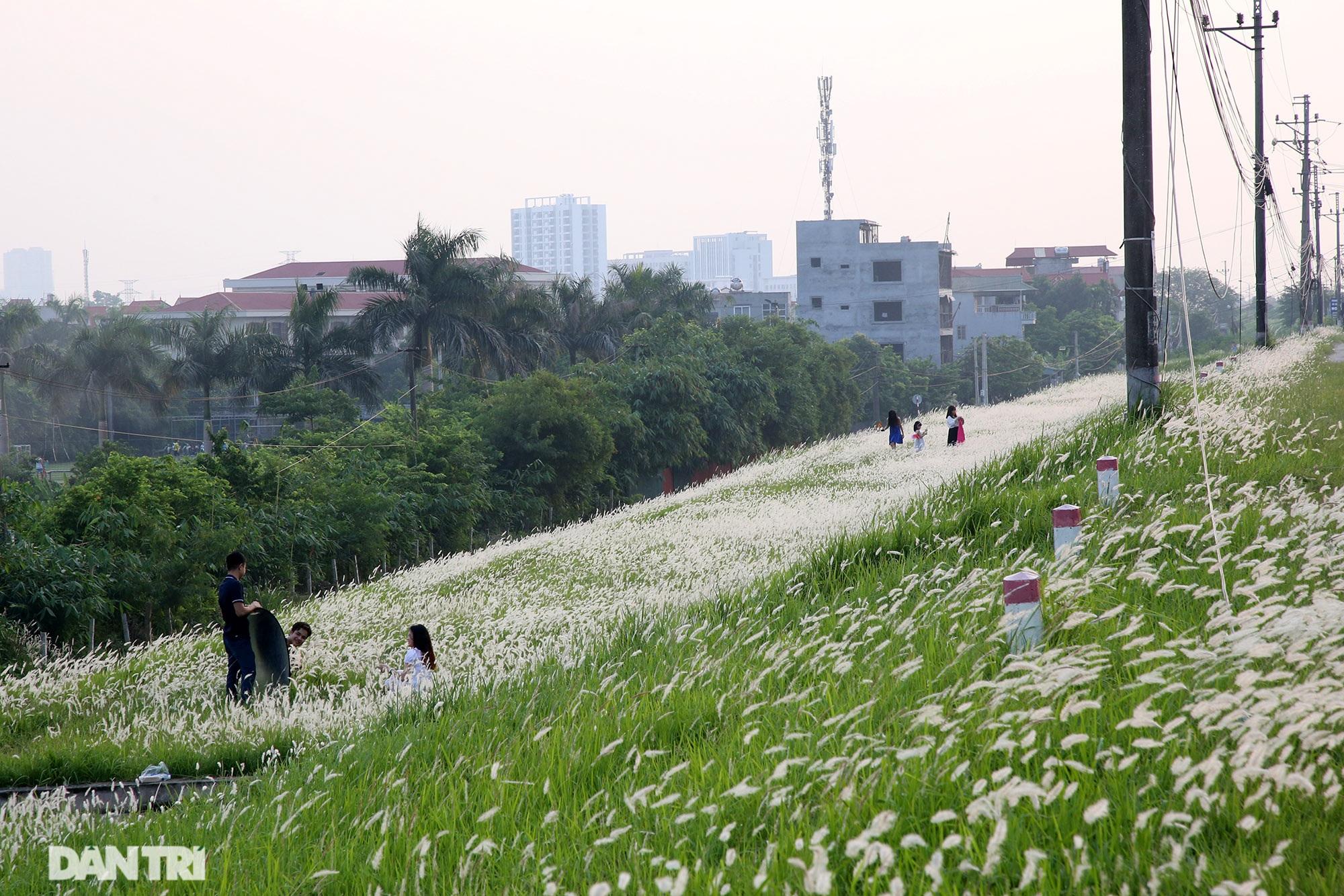 Thiên đường cỏ tranh trắng muốt tại Hà Nội - 6