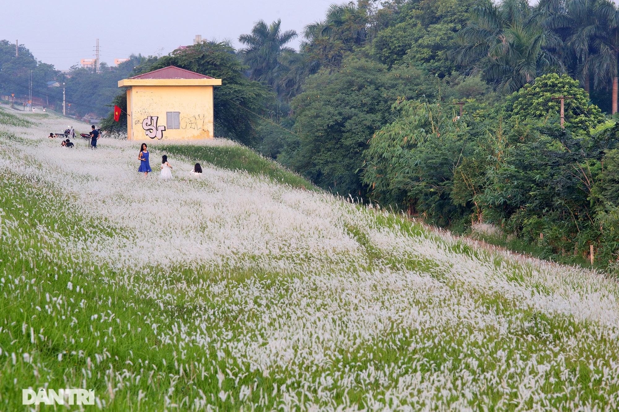 Thiên đường cỏ tranh trắng muốt tại Hà Nội - 8