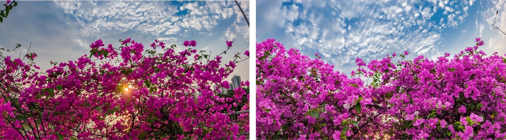 Ngắm thành phố xanh Ecopark đẹp mê mẩn trong mùa hoa giấy - 12