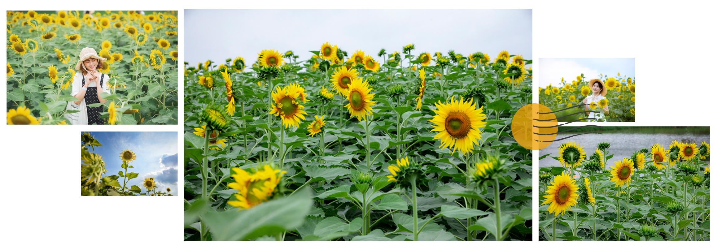 Ngắm cánh đồng hoa hướng dương rực rỡ, trải thảm vàng trong KĐT Ecopark - 3