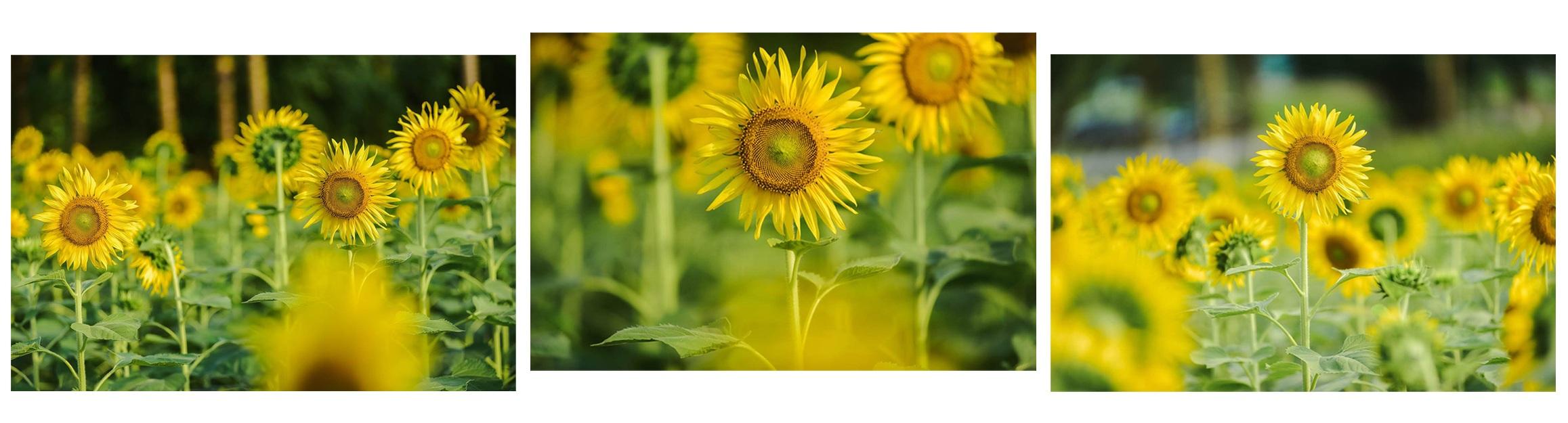 Ngắm cánh đồng hoa hướng dương rực rỡ, trải thảm vàng trong KĐT Ecopark - 12