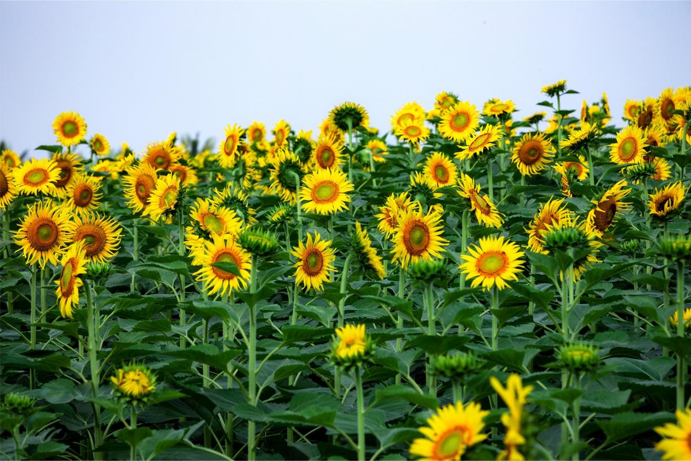 Ngắm cánh đồng hoa hướng dương rực rỡ, trải thảm vàng trong KĐT Ecopark - 13