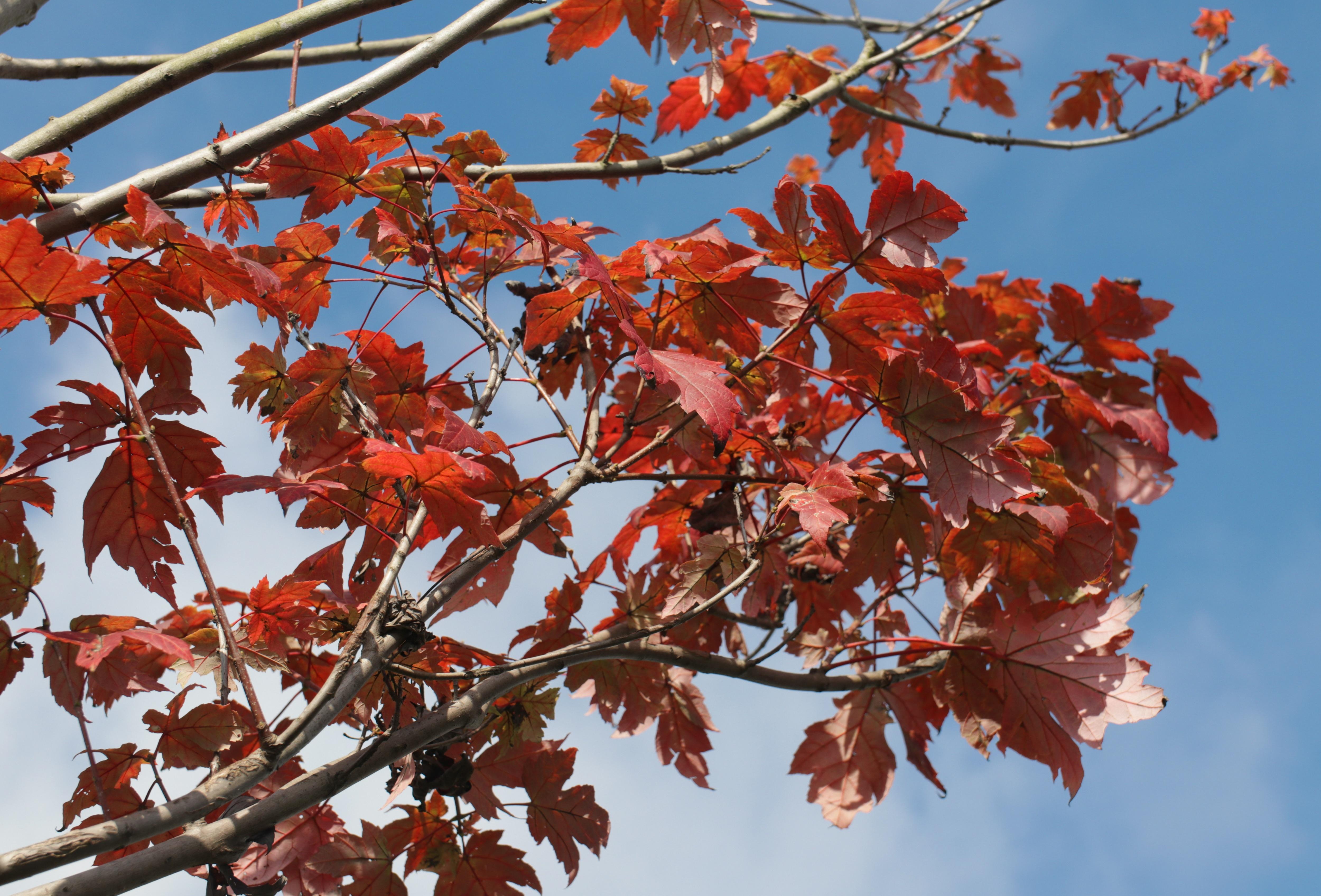 Ngắm phong lá đỏ chuyển màu rực rỡ ở cao nguyên đá vôi cao thứ 2 Việt Nam - 3