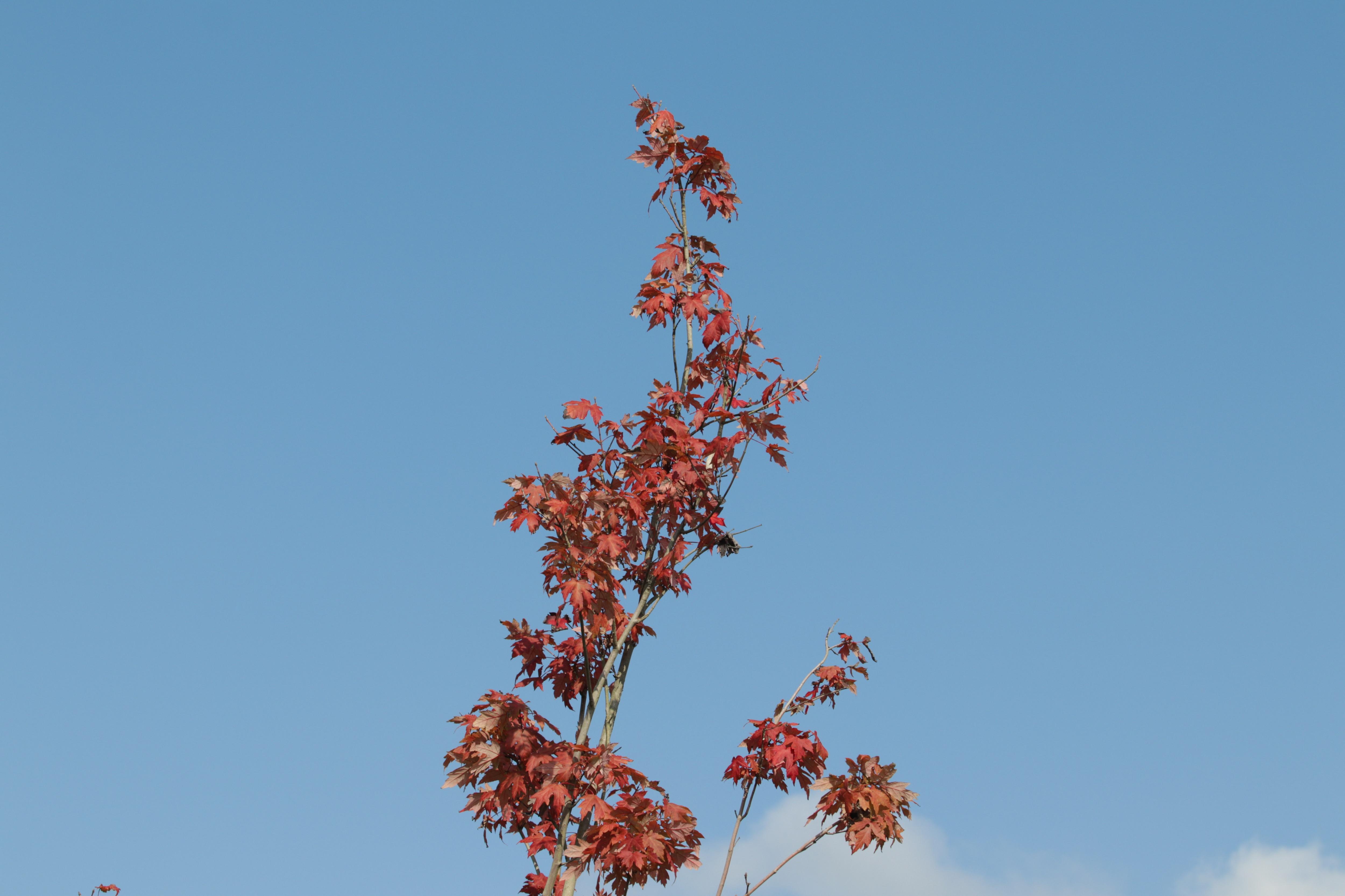 Ngắm phong lá đỏ chuyển màu rực rỡ ở cao nguyên đá vôi cao thứ 2 Việt Nam - 14