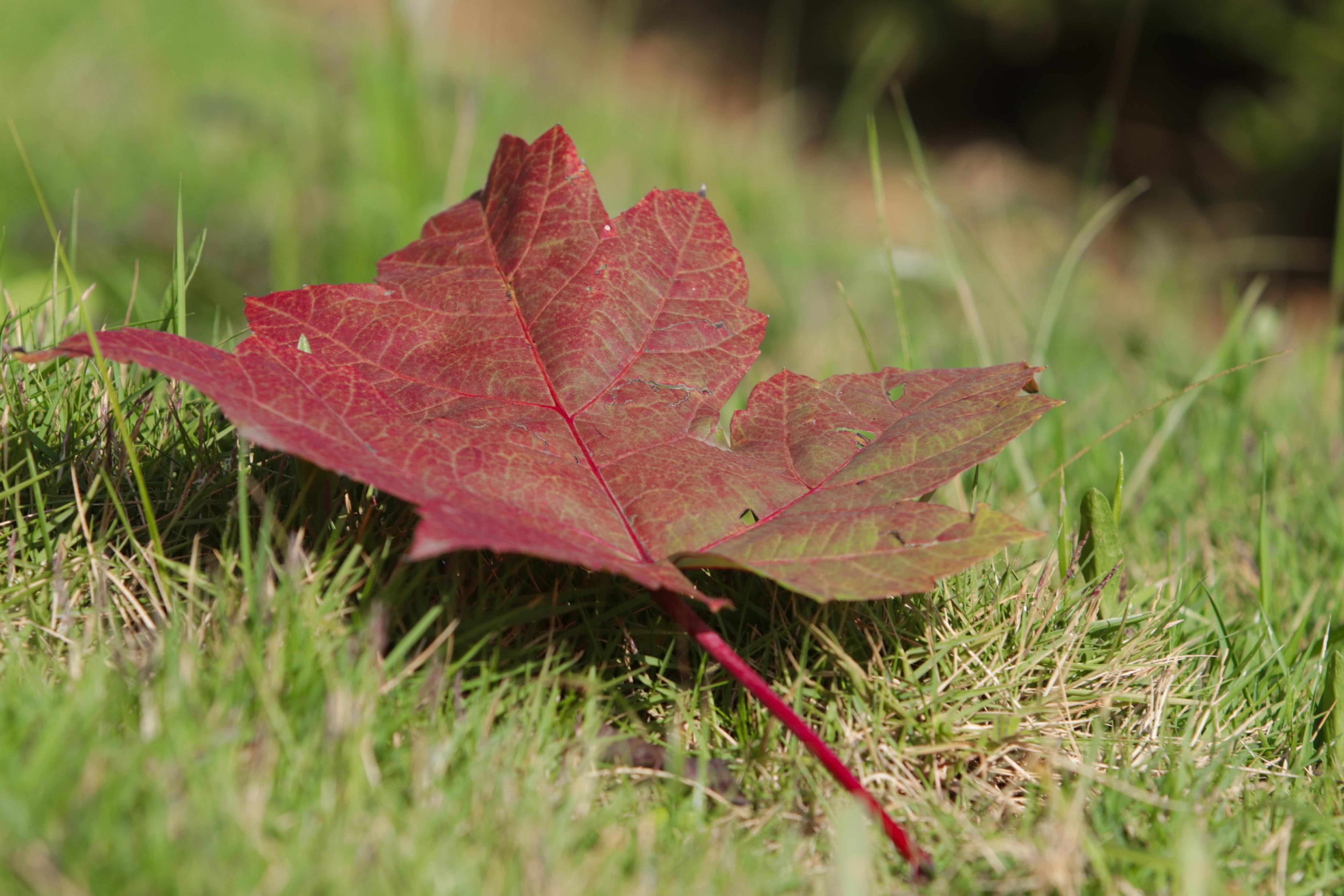 Ngắm phong lá đỏ chuyển màu rực rỡ ở cao nguyên đá vôi cao thứ 2 Việt Nam - 6