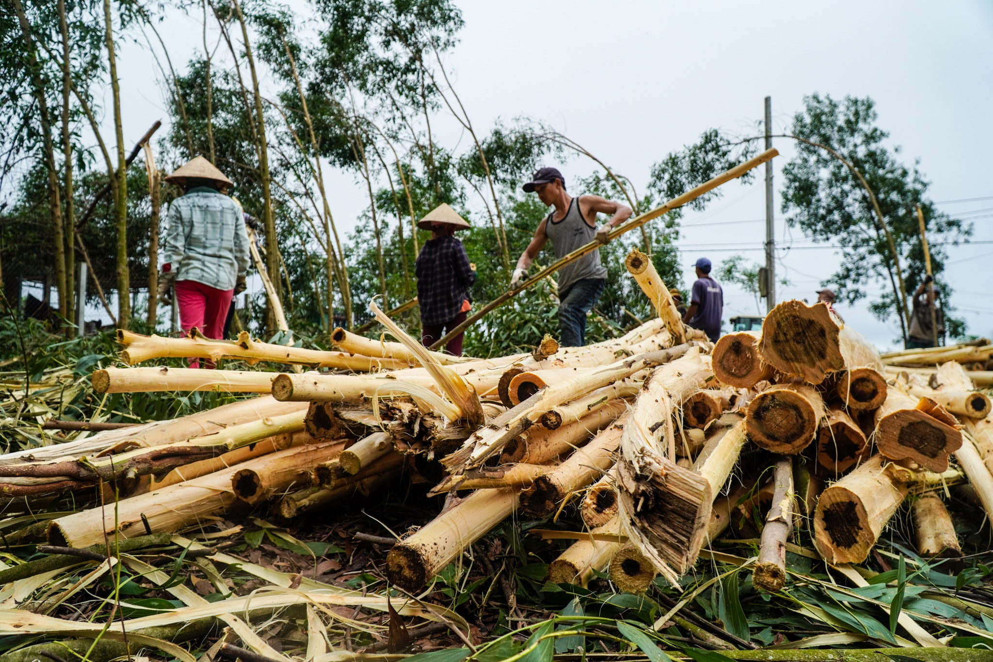 Nông dân Huế hối hả thu hoạch keo lá tràm chạy bão - 1