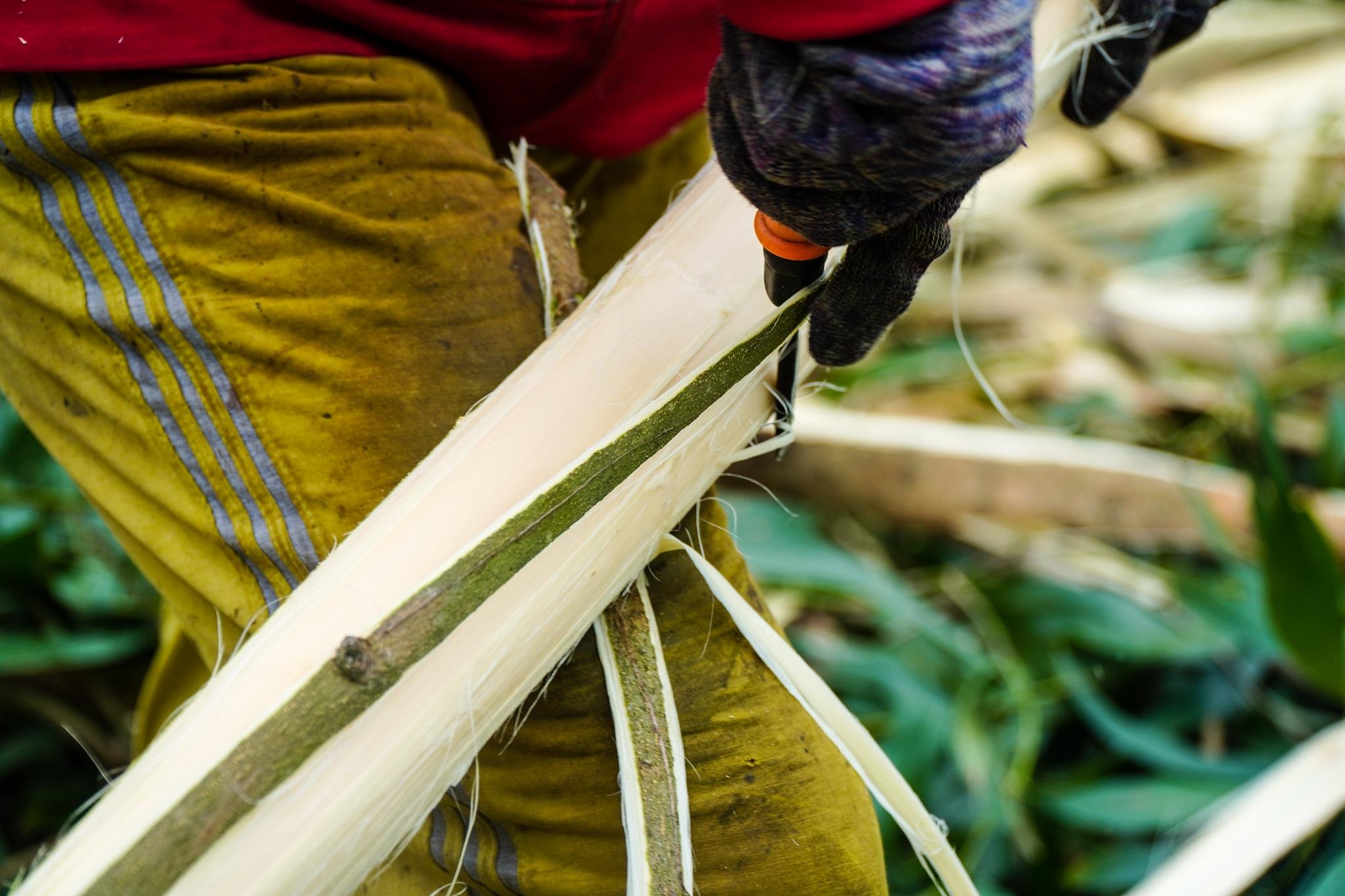 Nông dân Huế hối hả thu hoạch keo lá tràm chạy bão - 11