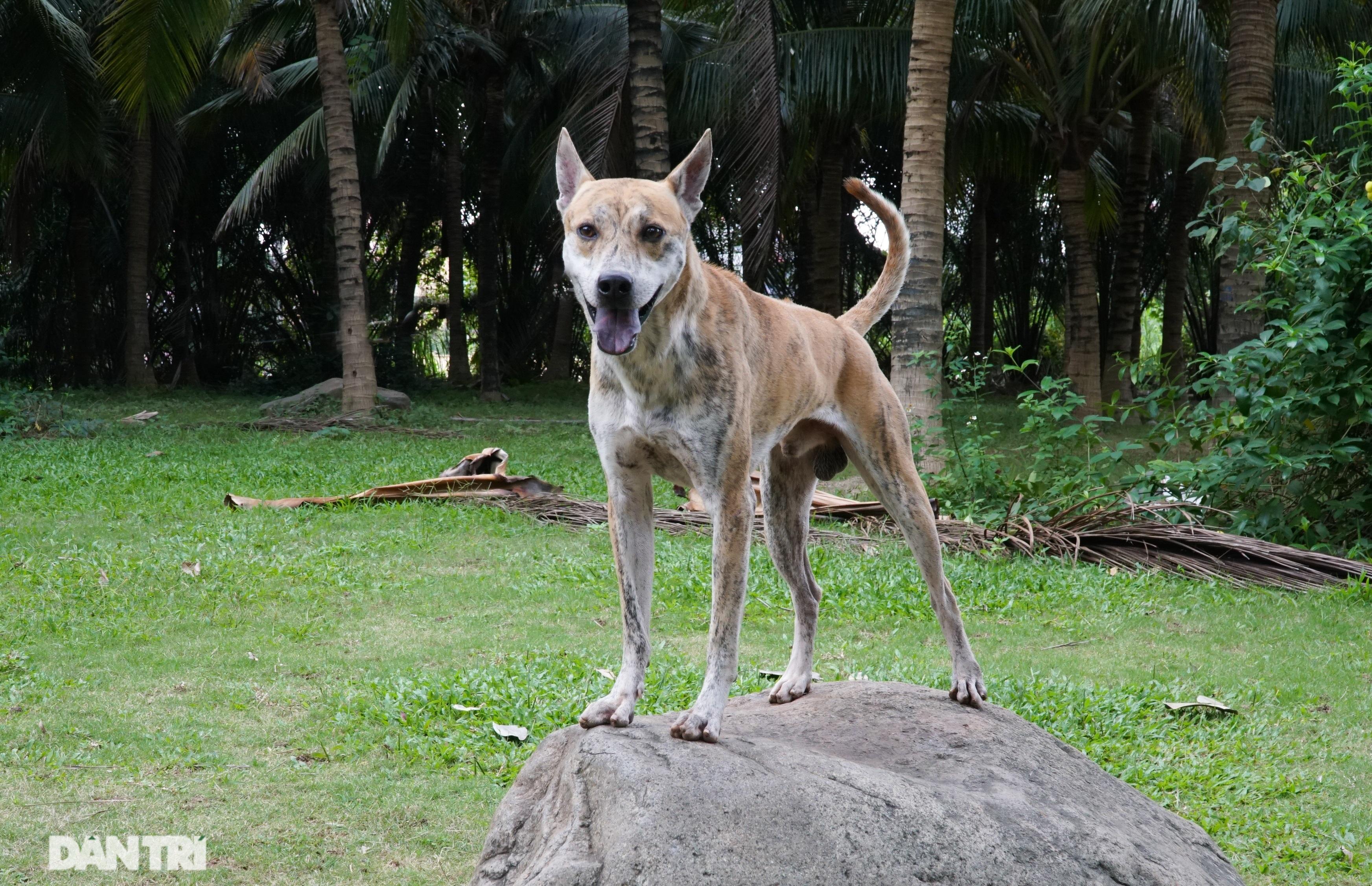 Những chú chó Phú Quốc có giá hàng trăm triệu đồng ở Hà Nội - 6