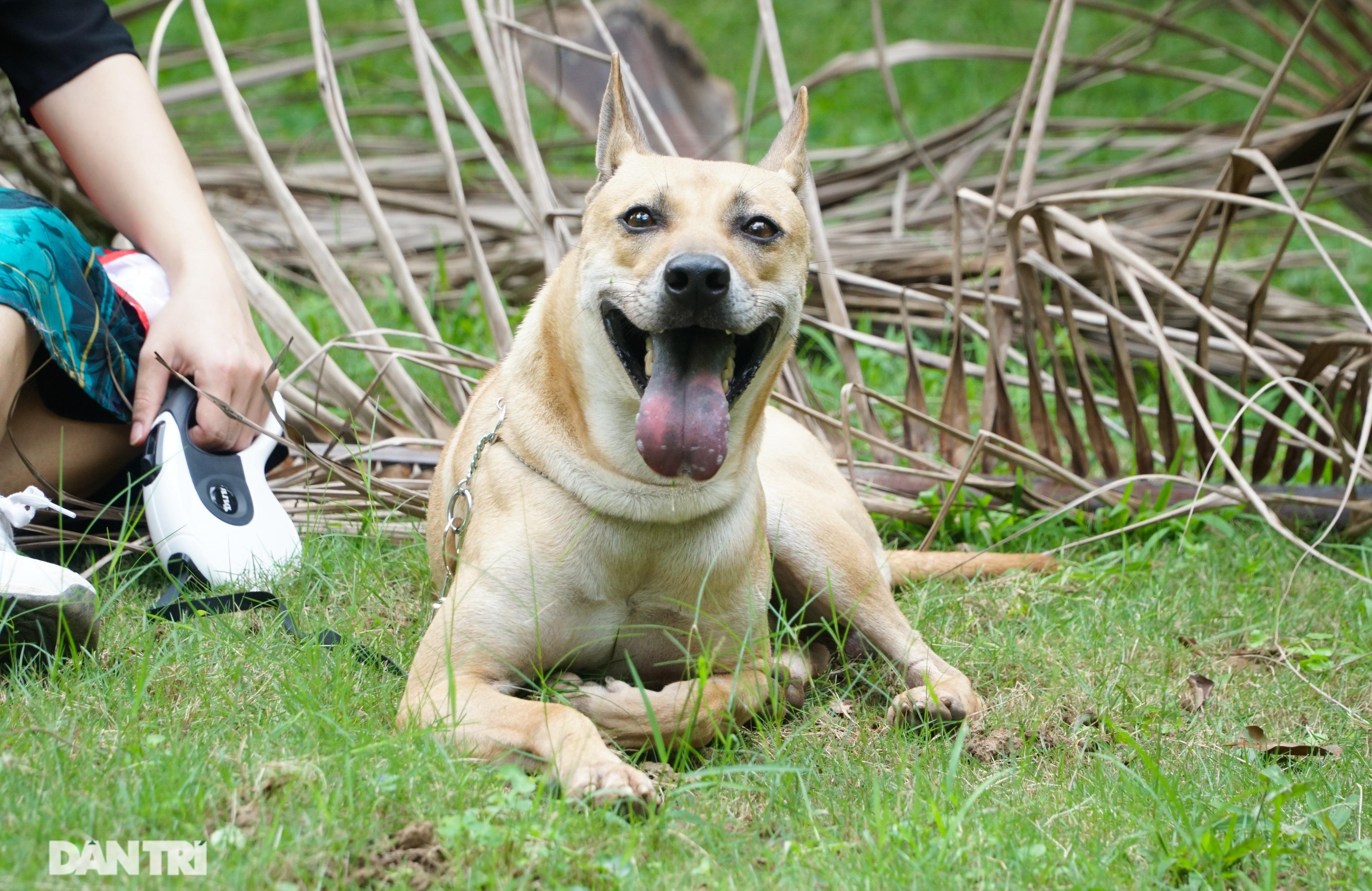 Những chú chó Phú Quốc có giá hàng trăm triệu đồng ở Hà Nội - 5