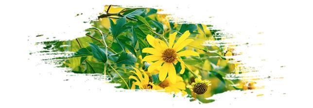 Về Ecopark ngắm cánh đồng hoa dã quỳ ngập tràn sắc vàng giữa trời đông - 1