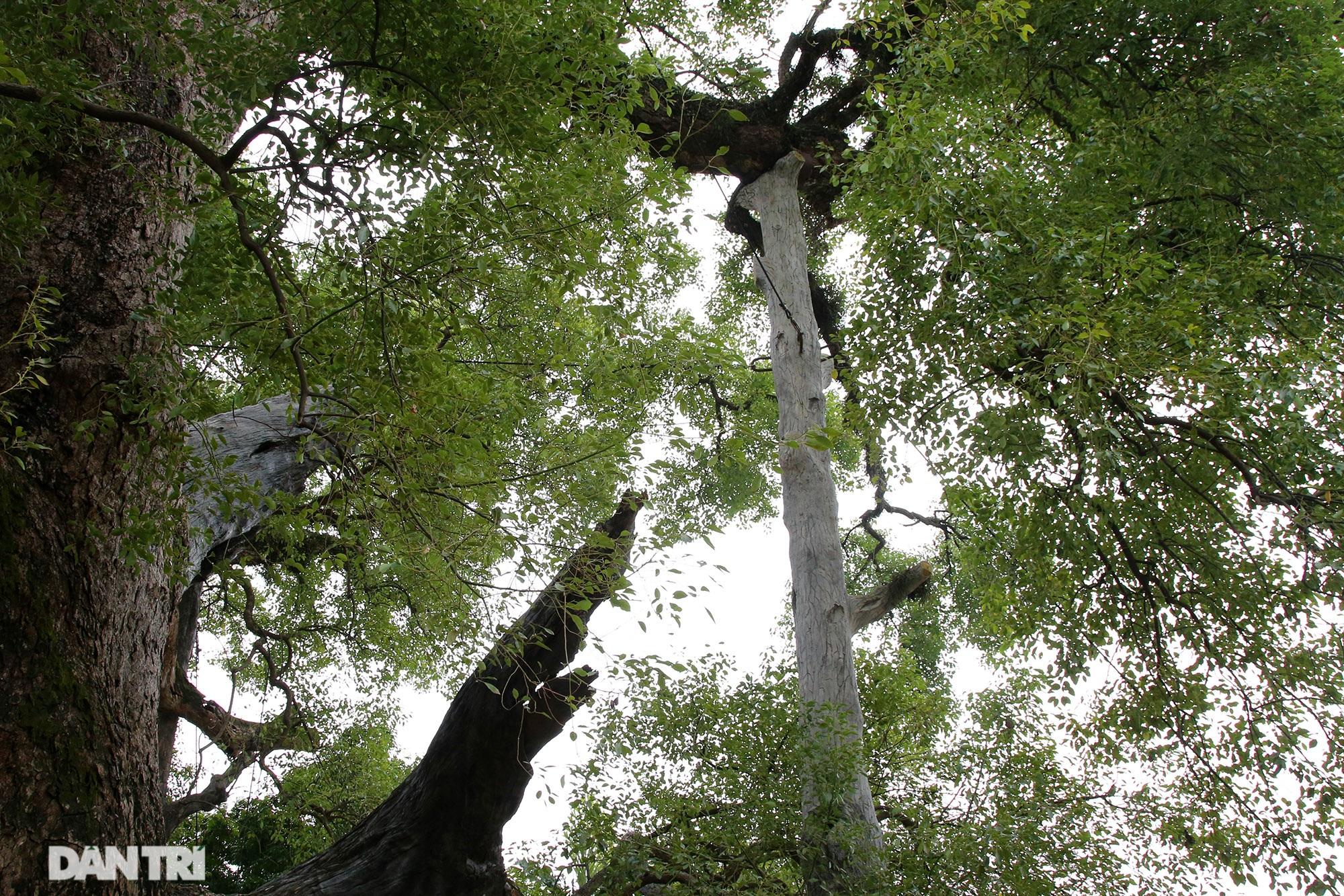 Cây dã hương kì vĩ lớn nhất thế giới tại Bắc Giang - 6