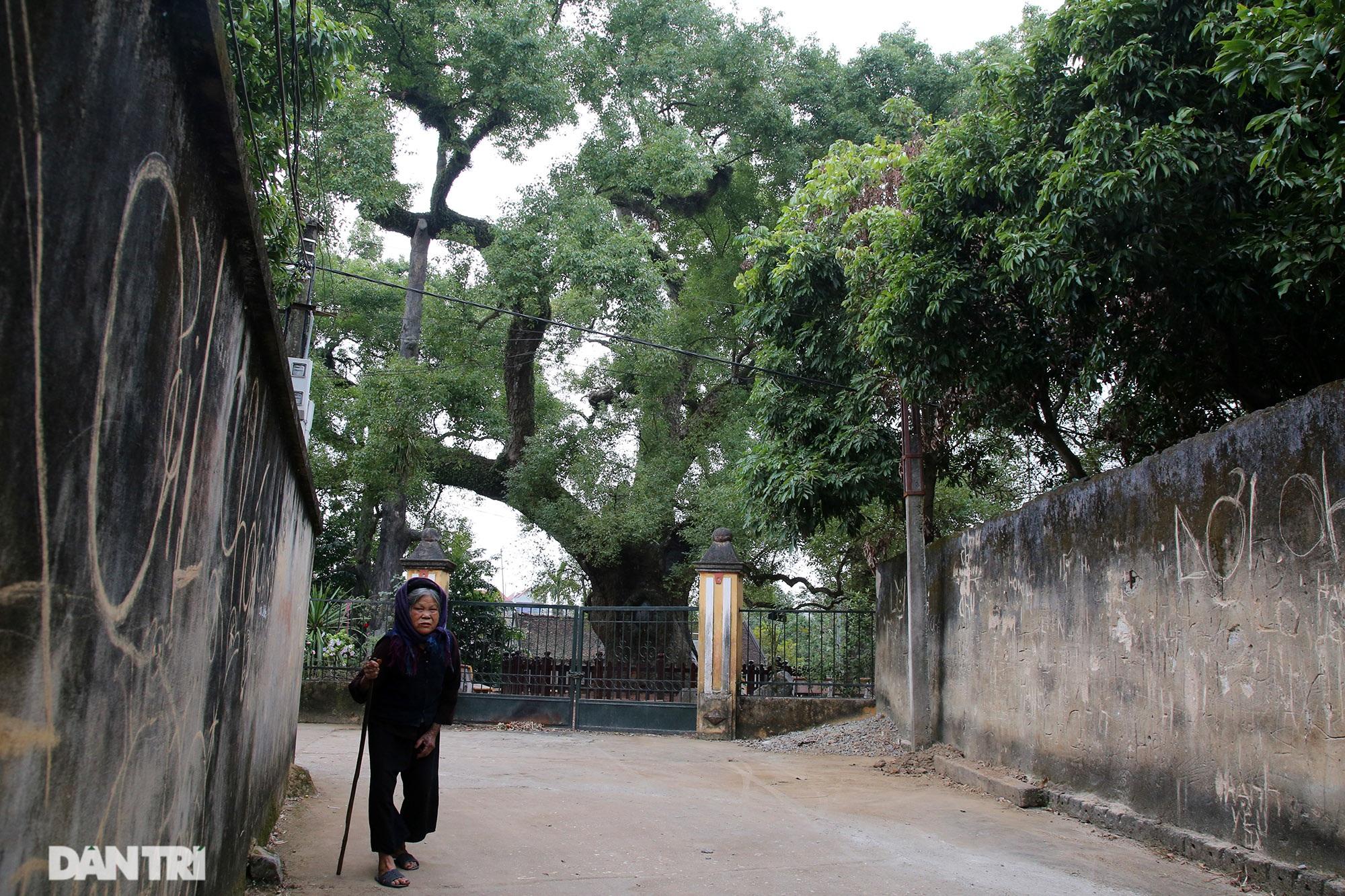 Cây dã hương kì vĩ lớn nhất thế giới tại Bắc Giang - 7
