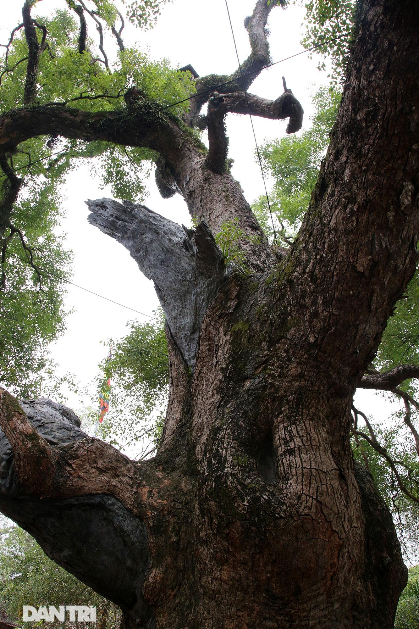 Cây dã hương kì vĩ lớn nhất thế giới tại Bắc Giang - 8