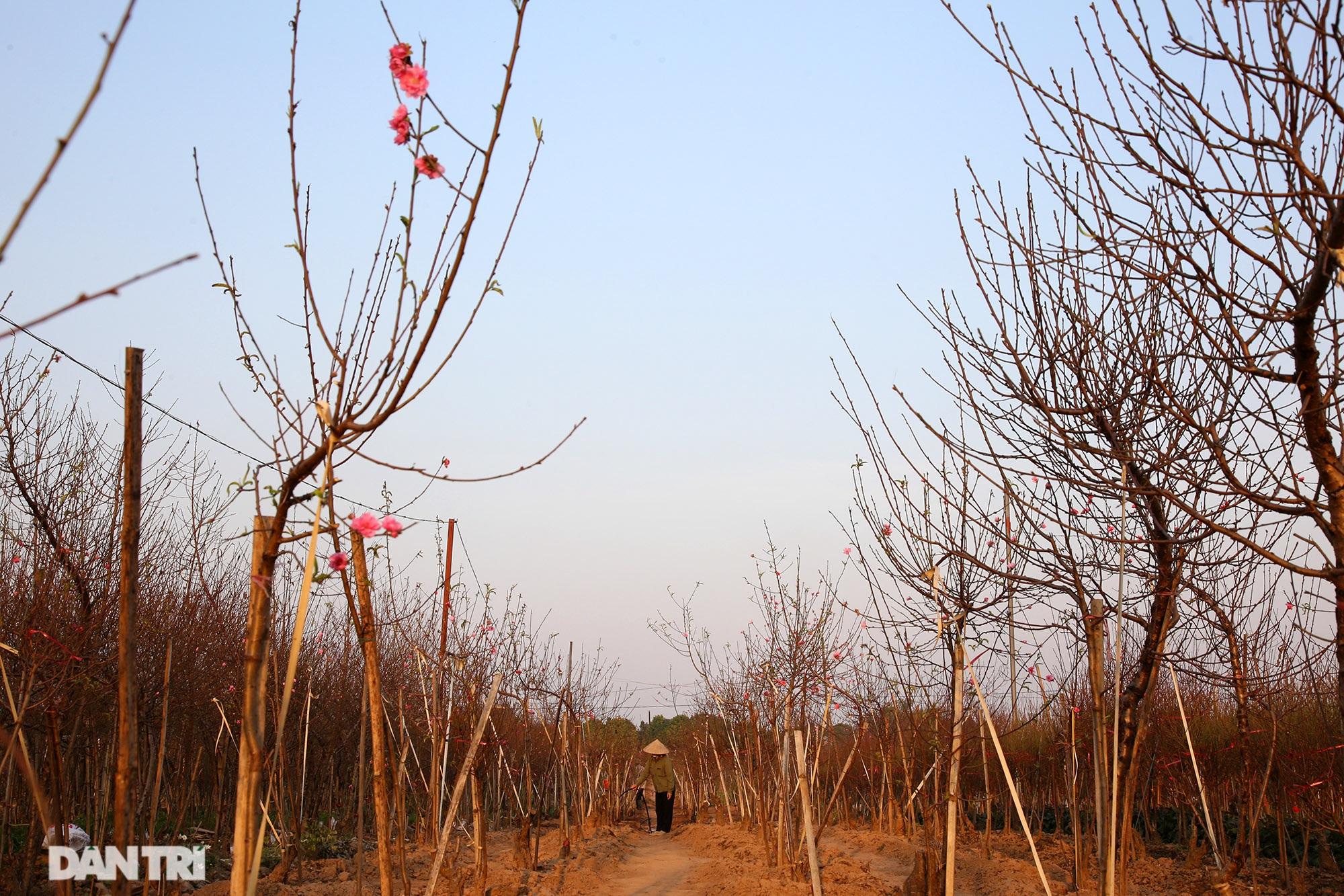 Đào Nhật Tân bắt đầu nở rộ chờ đón năm mới Tân Sửu - 3