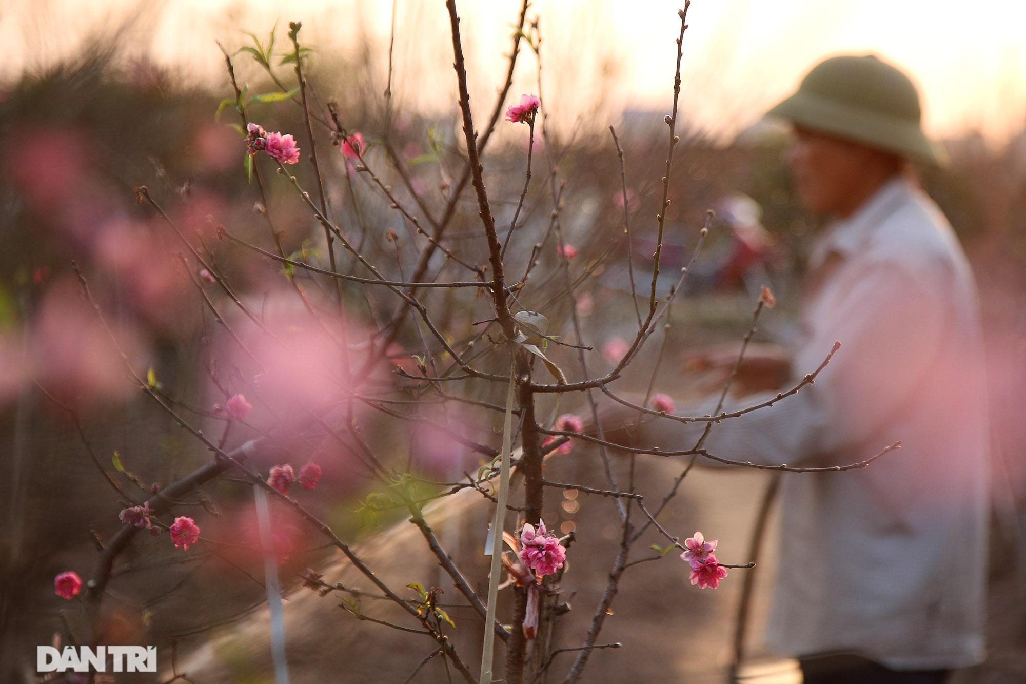 Đào Nhật Tân bắt đầu nở rộ chờ đón năm mới Tân Sửu - 4