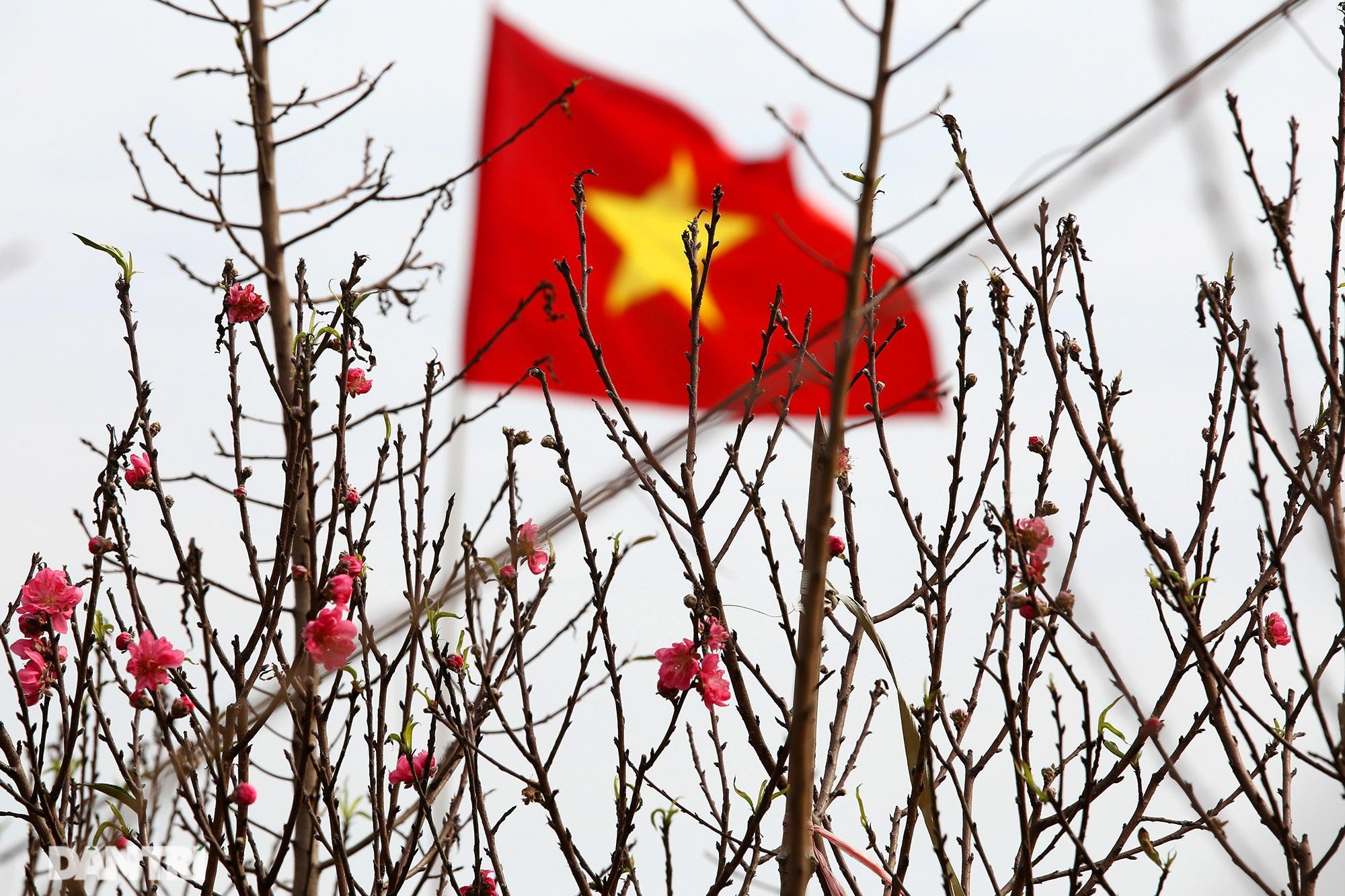 Đào Nhật Tân bắt đầu nở rộ chờ đón năm mới Tân Sửu - 5