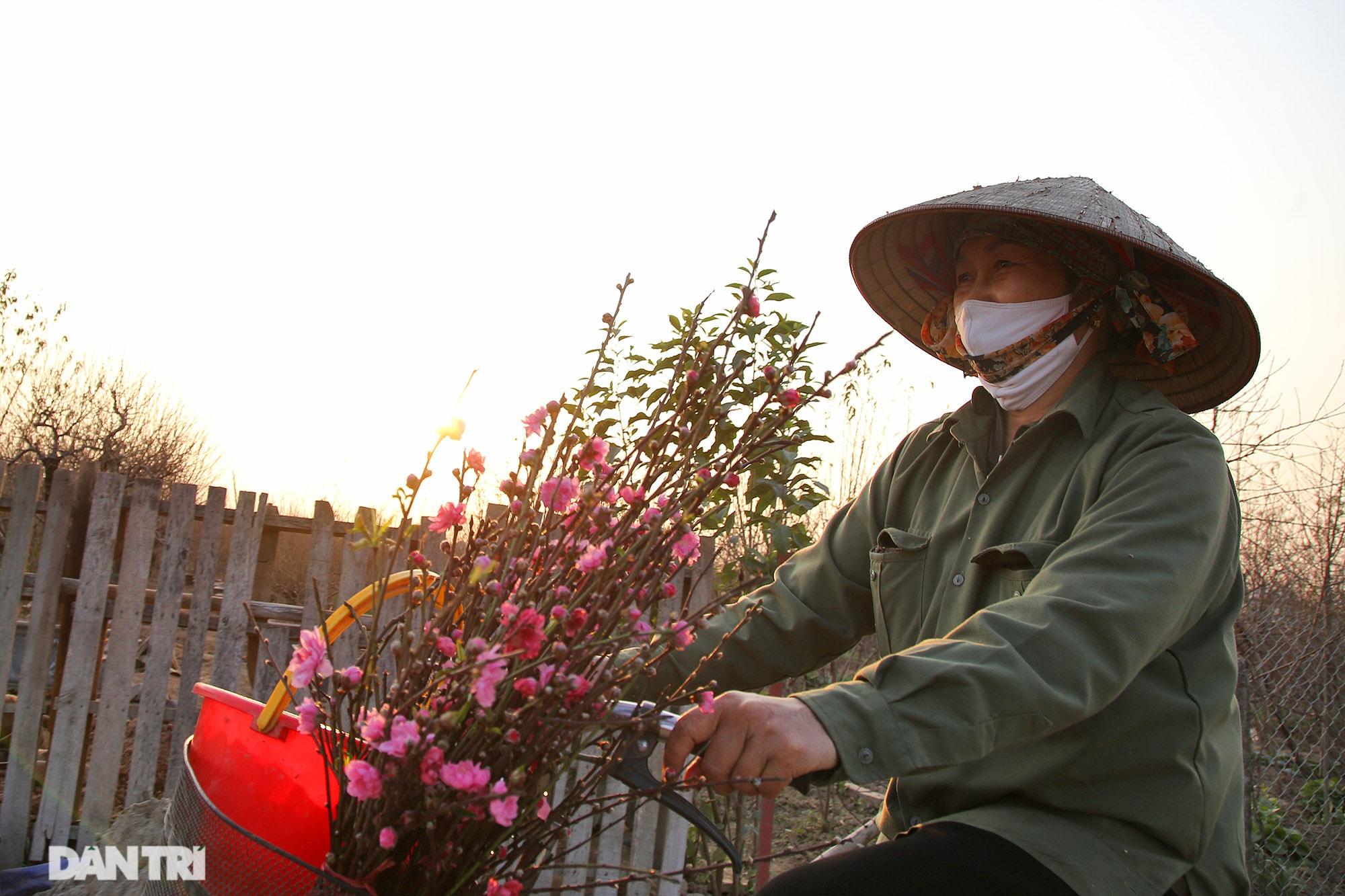Đào Nhật Tân bắt đầu nở rộ chờ đón năm mới Tân Sửu - 6