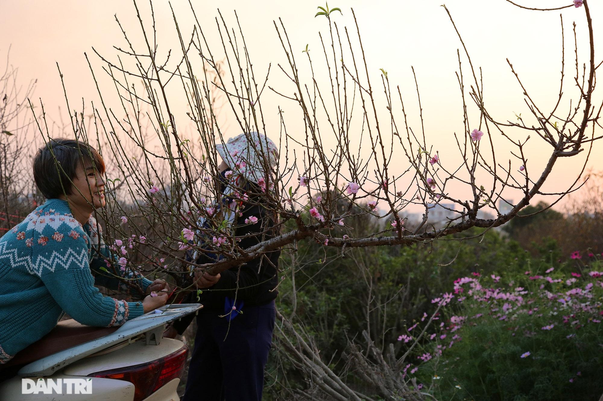 Đào Nhật Tân bắt đầu nở rộ chờ đón năm mới Tân Sửu - 7