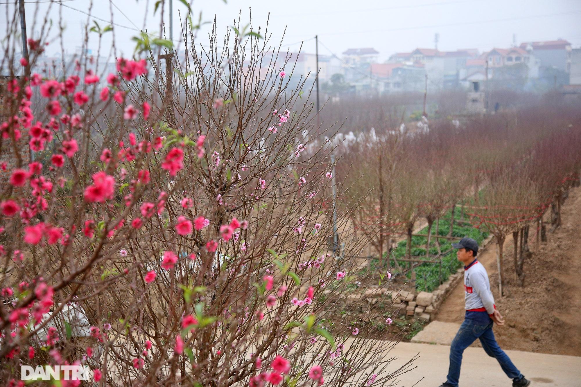 Hoa đào đỏ rực phủ kín cánh đồng Nhật Tân rộng bát ngát - 1