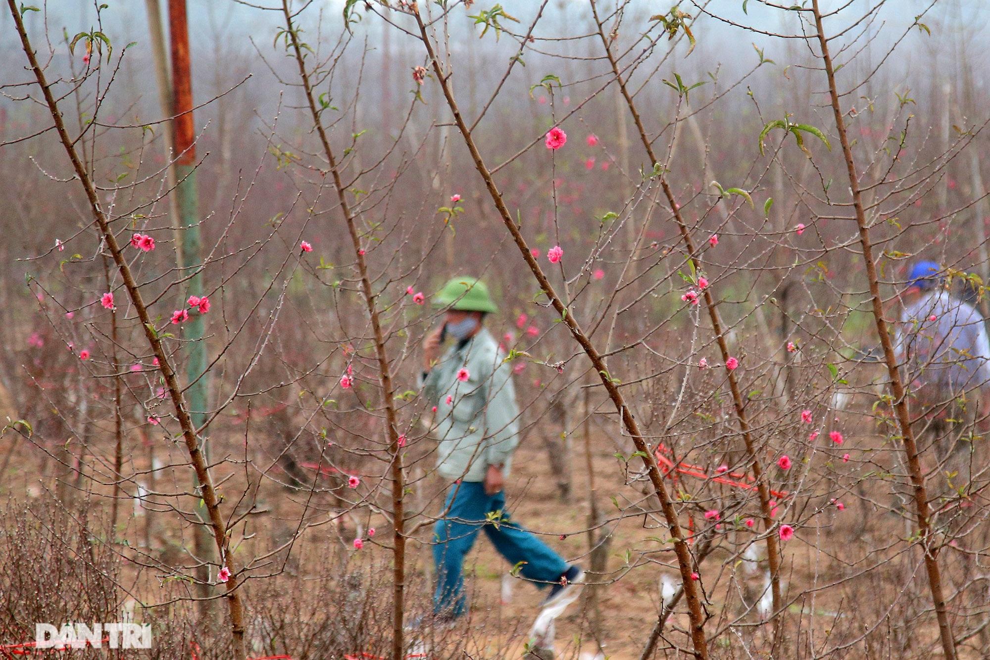 Hoa đào đỏ rực phủ kín cánh đồng Nhật Tân rộng bát ngát - 11