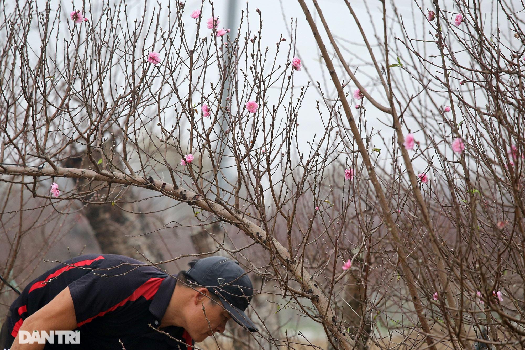 Hoa đào đỏ rực phủ kín cánh đồng Nhật Tân rộng bát ngát - 12