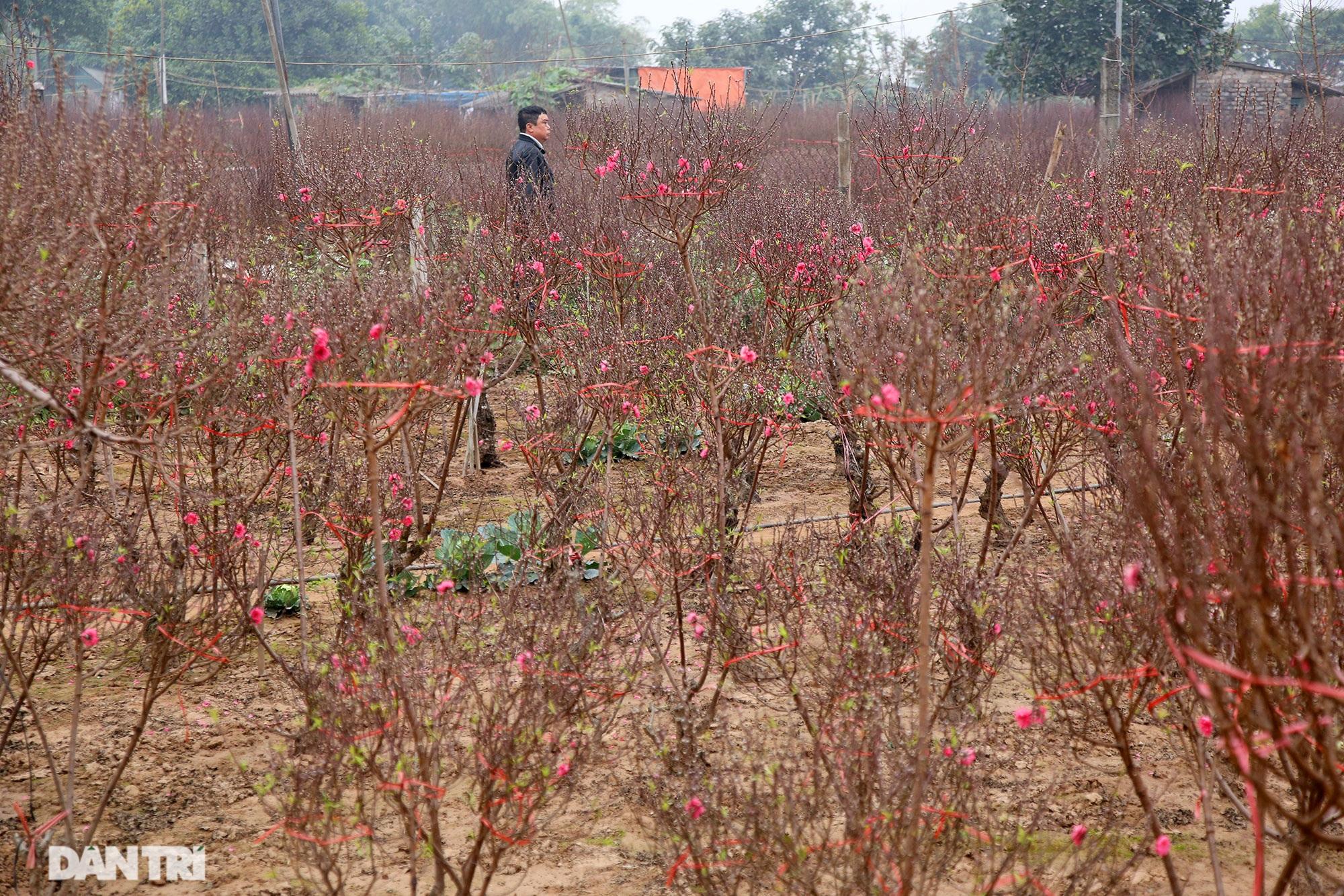 Hoa đào đỏ rực phủ kín cánh đồng Nhật Tân rộng bát ngát - 13
