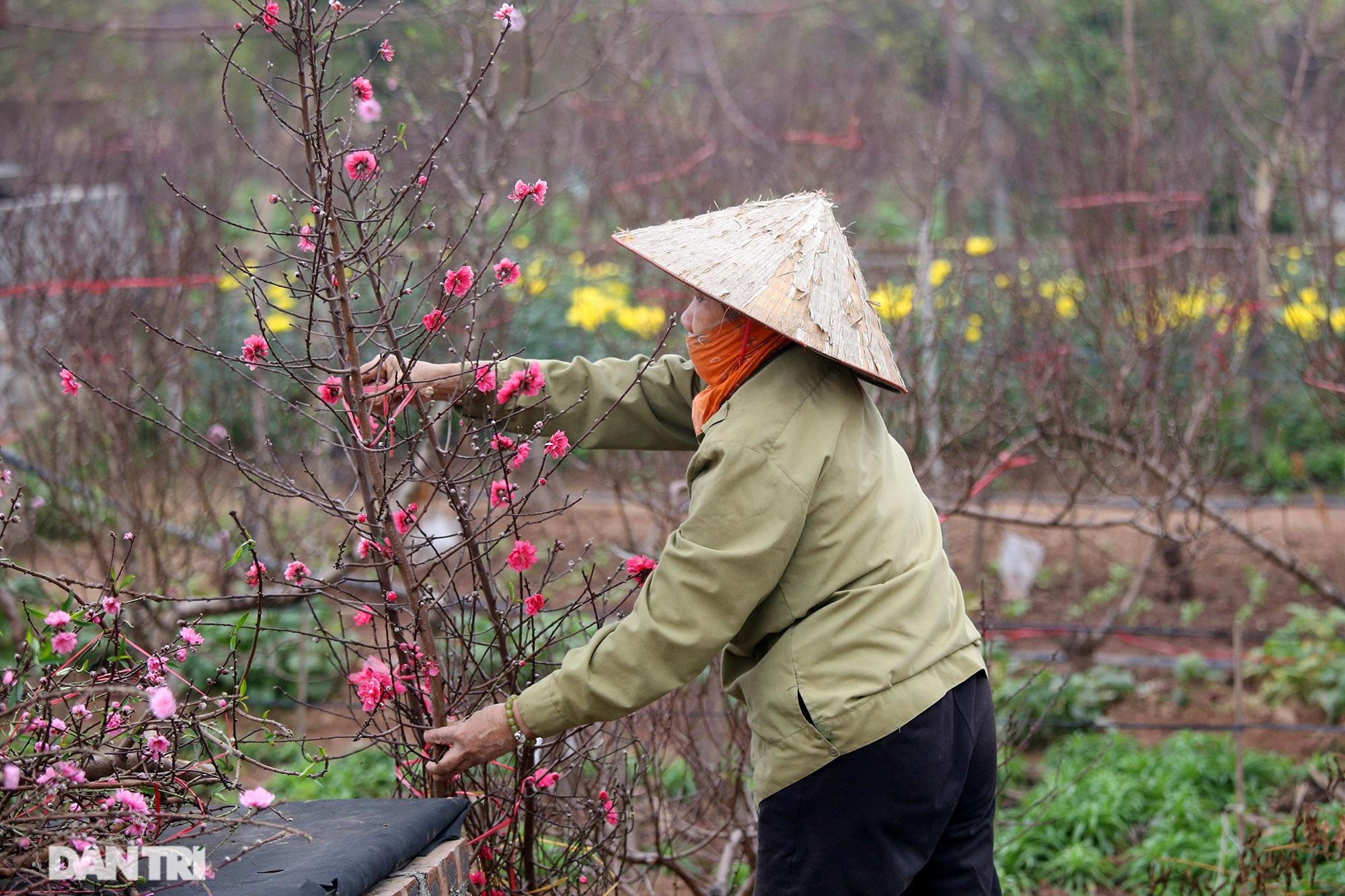 Hoa đào đỏ rực phủ kín cánh đồng Nhật Tân rộng bát ngát - 3