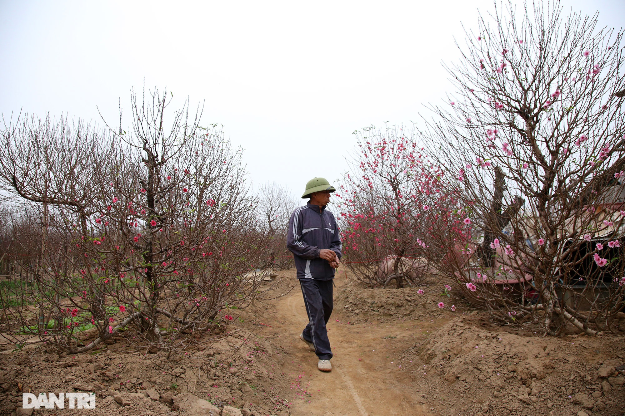 Hoa đào đỏ rực phủ kín cánh đồng Nhật Tân rộng bát ngát - 5