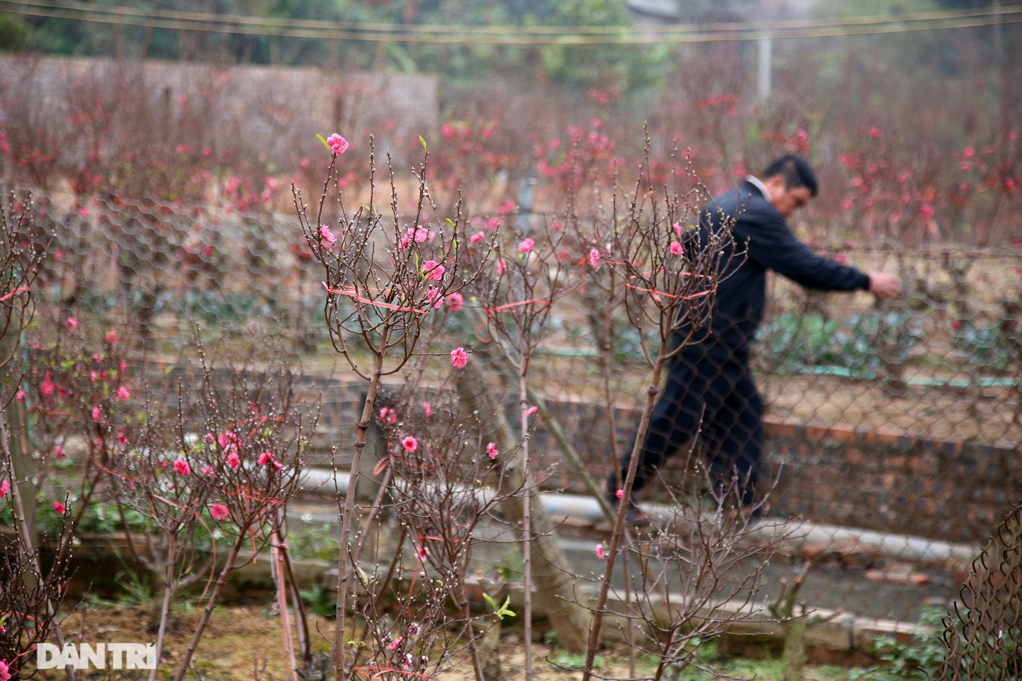 Hoa đào đỏ rực phủ kín cánh đồng Nhật Tân rộng bát ngát - 8