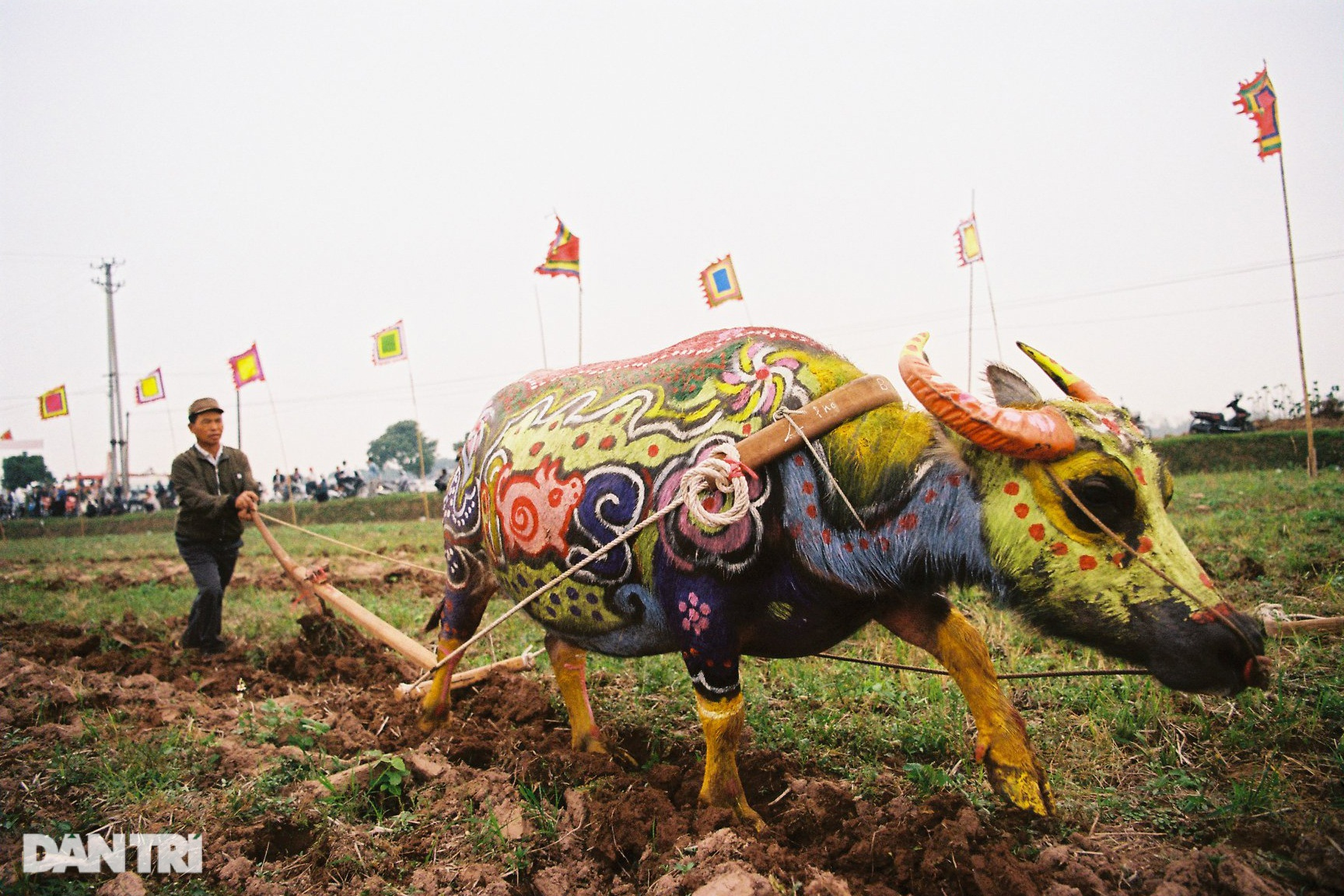 See the most beautiful festival in five buffaloes but be canceled due to the Covid-19-18 epidemic