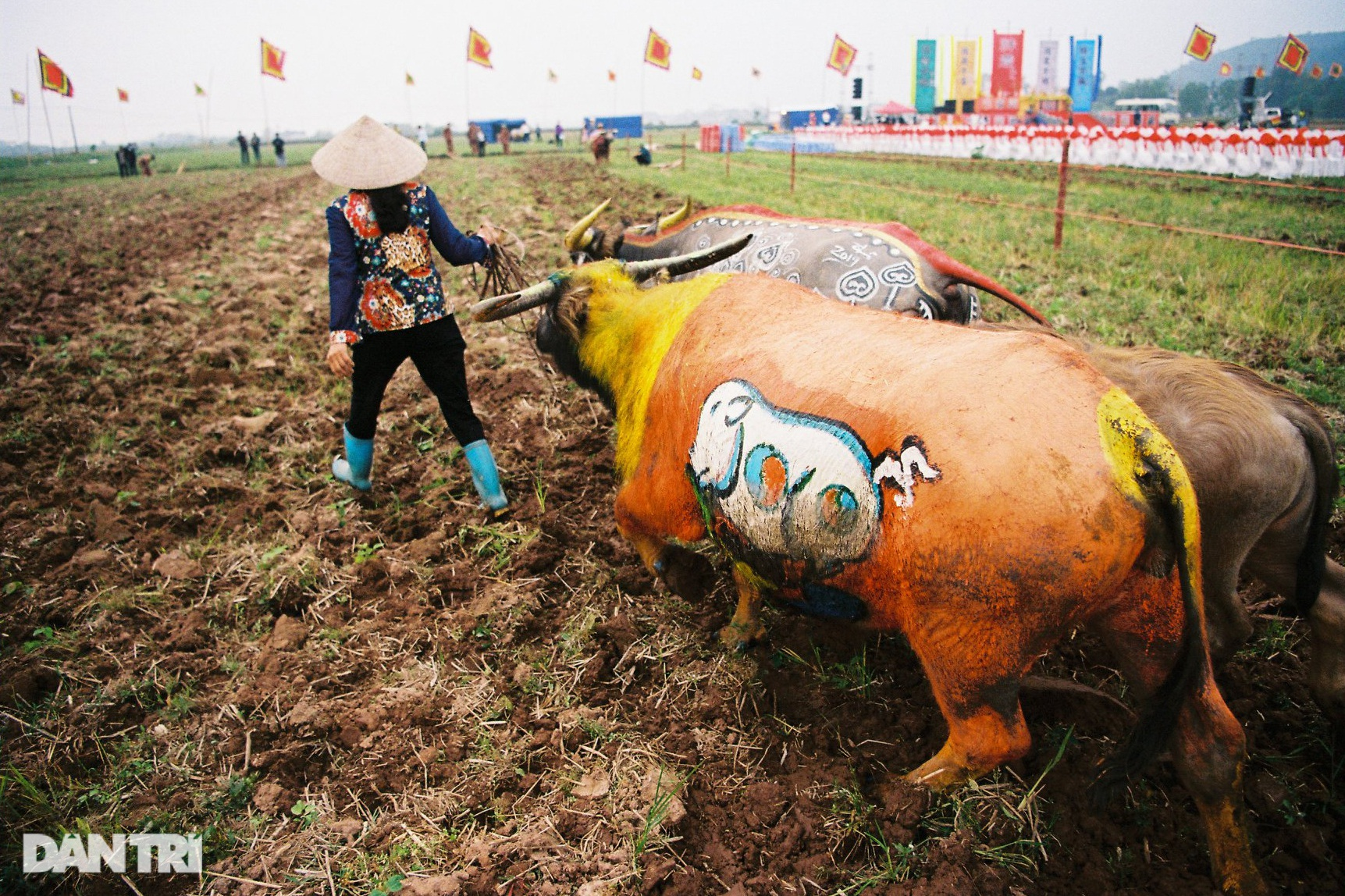 See the most beautiful festival in five buffaloes but be canceled due to the Covid-19-20 epidemic