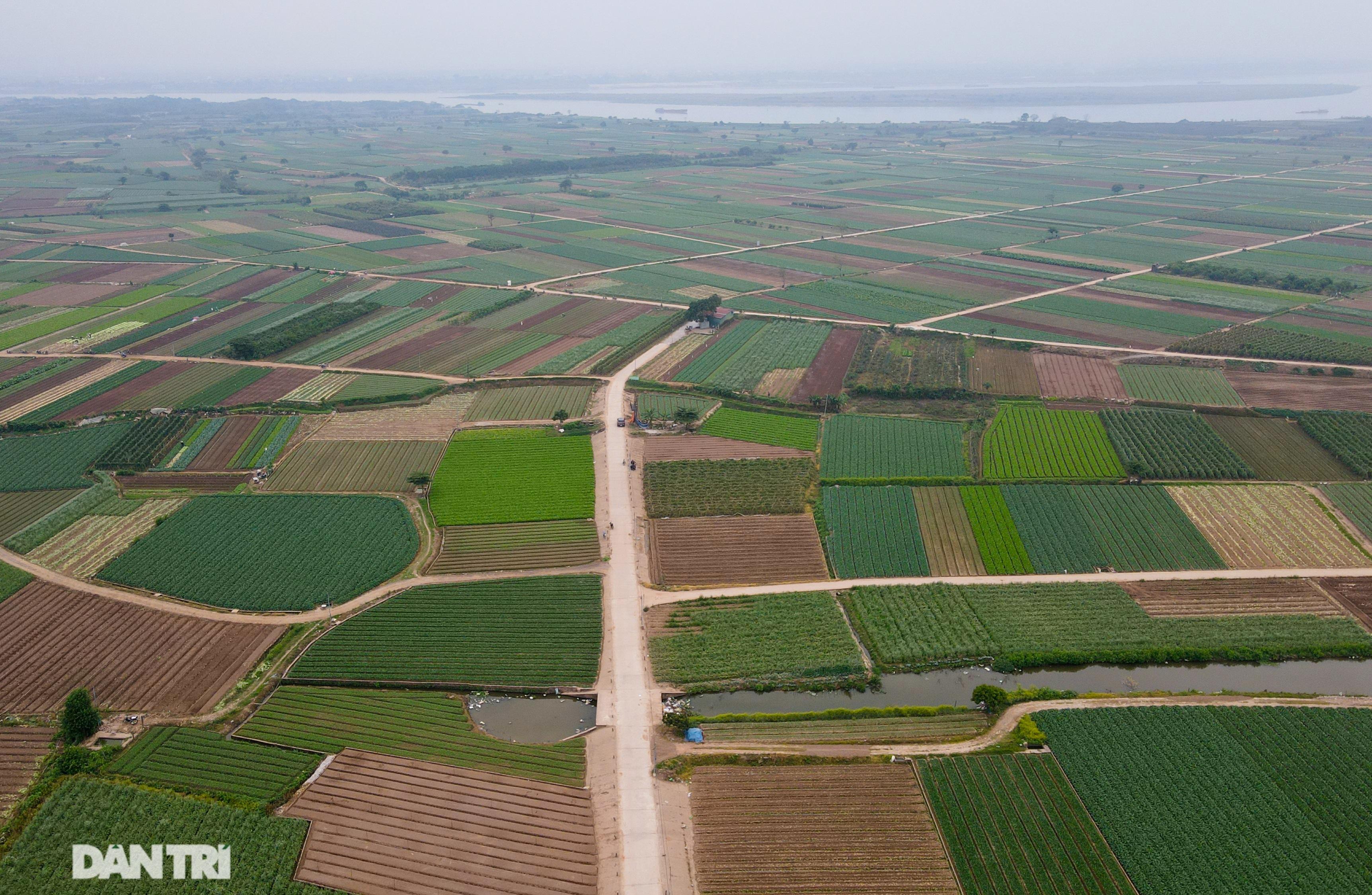 Không được giải cứu như Hải Dương, trăm tấn củ cải, cà chua ế hỏng ở Hà Nội - 1