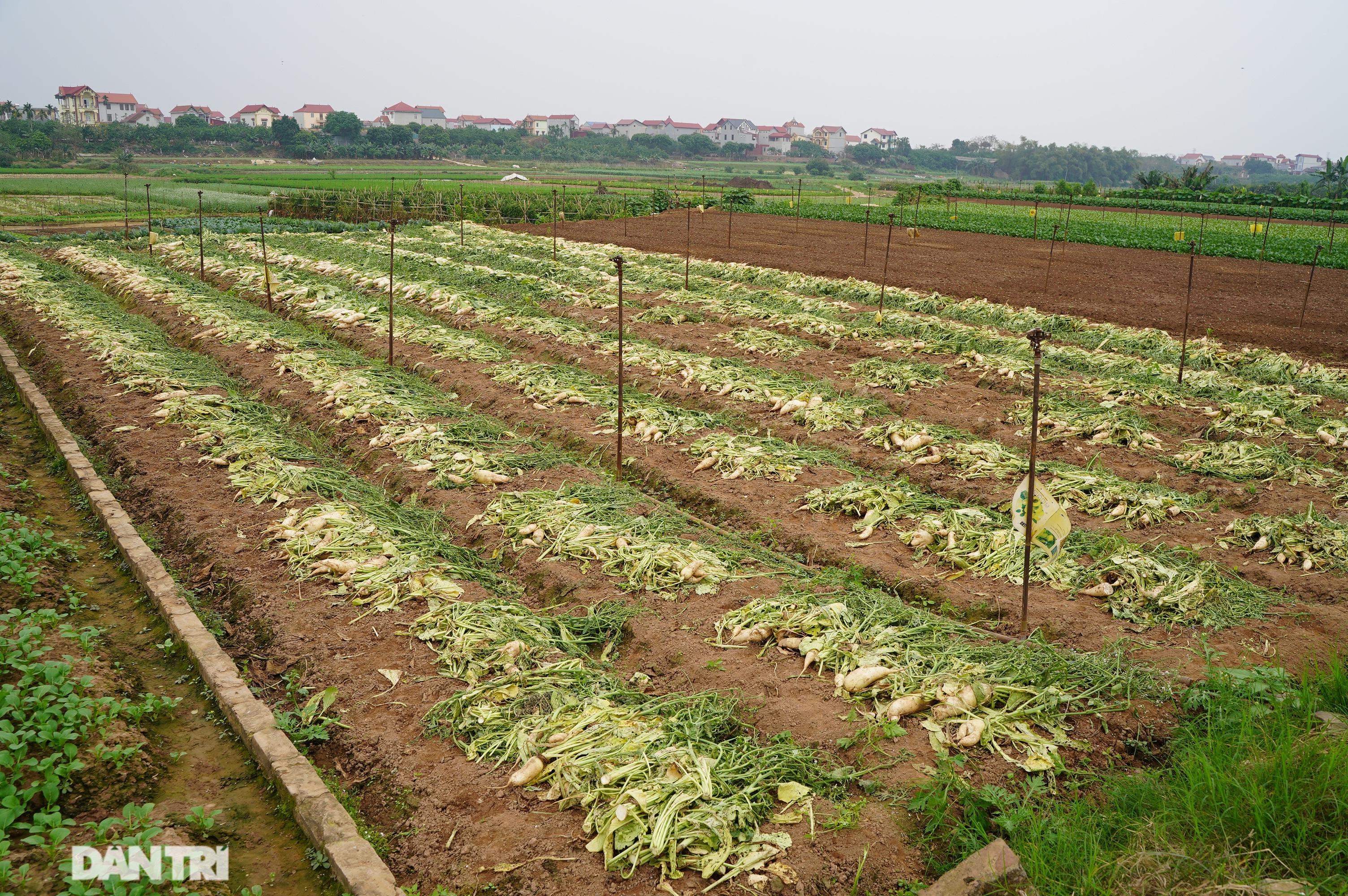 Không được giải cứu như Hải Dương, trăm tấn củ cải, cà chua ế hỏng ở Hà Nội - 2