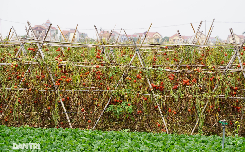 Không được giải cứu như Hải Dương, trăm tấn củ cải, cà chua ế hỏng ở Hà Nội - 6