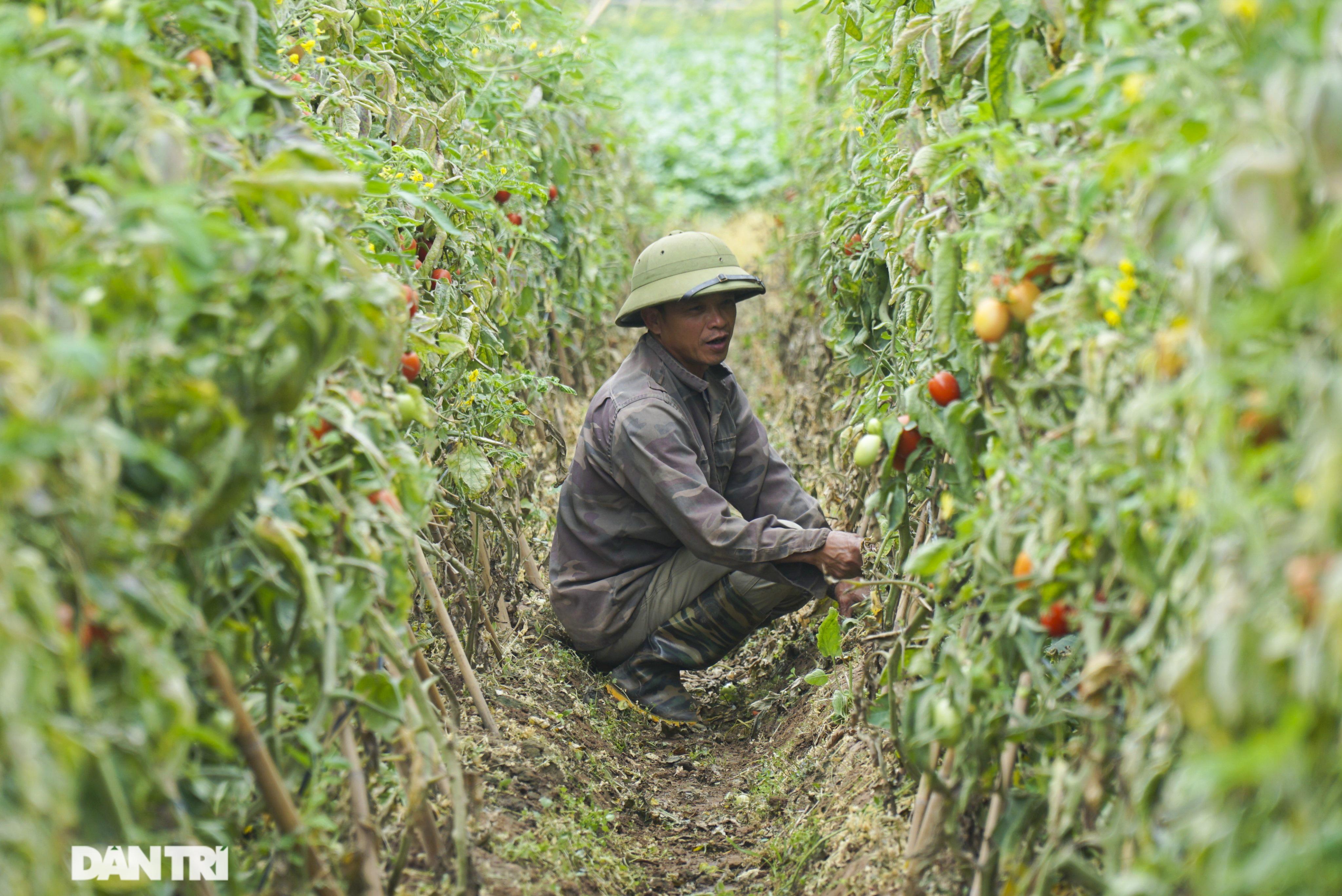 Không được giải cứu như Hải Dương, trăm tấn củ cải, cà chua ế hỏng ở Hà Nội - 5