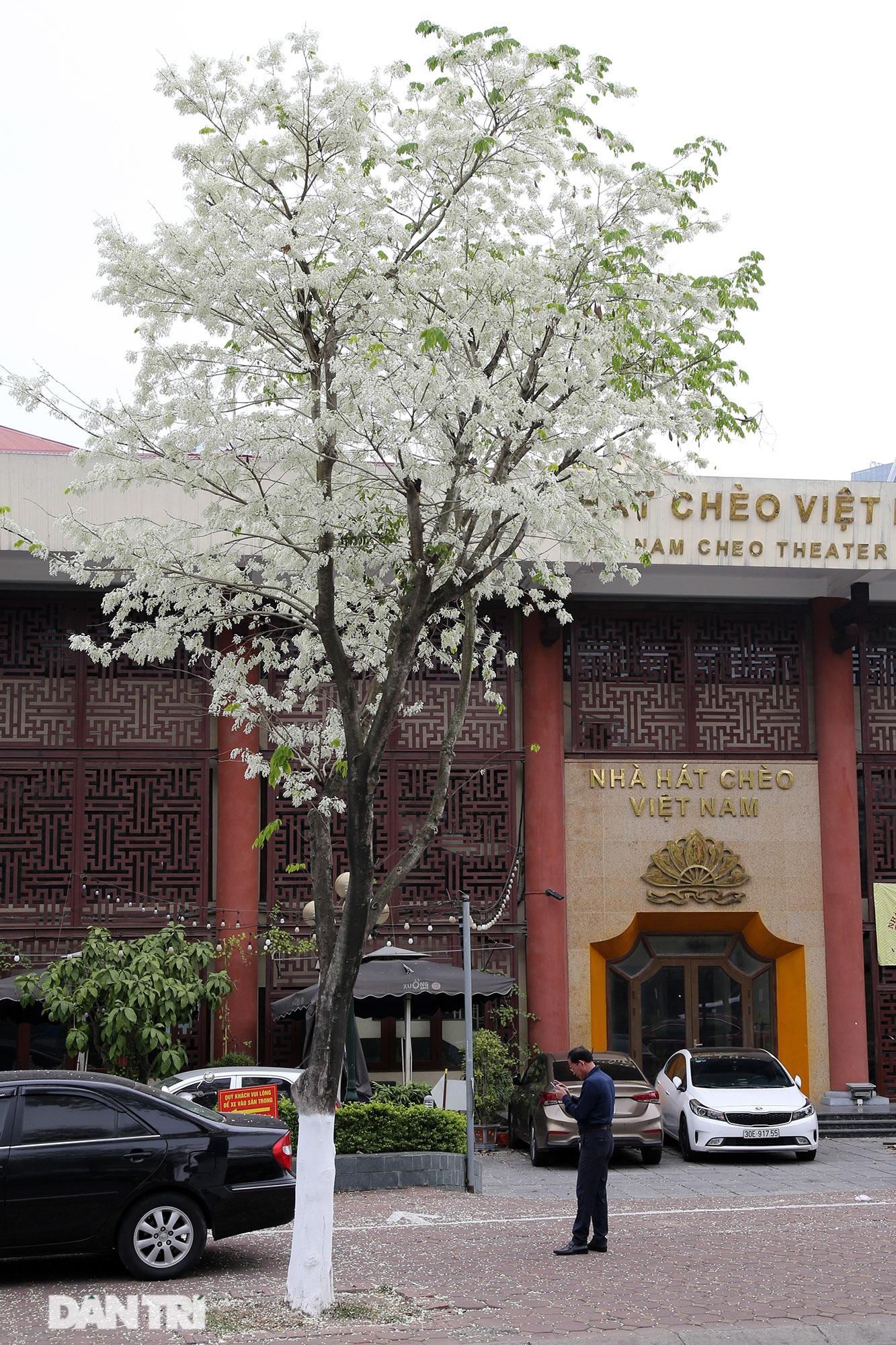 Hà Nội đẹp lạ trong mùa hoa sưa nở trắng tinh khôi - 10