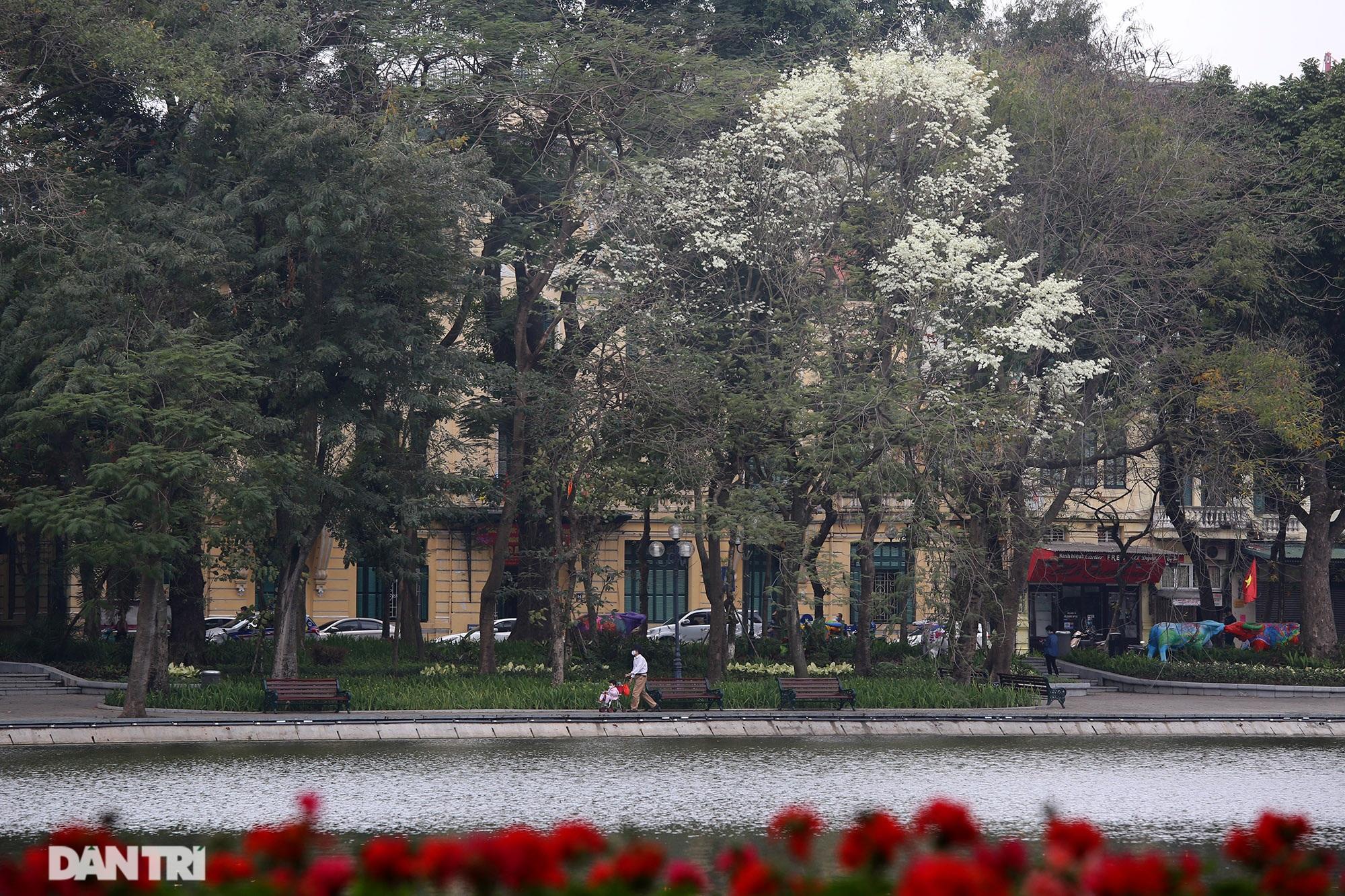 Hà Nội đẹp lạ trong mùa hoa sưa nở trắng tinh khôi - 11