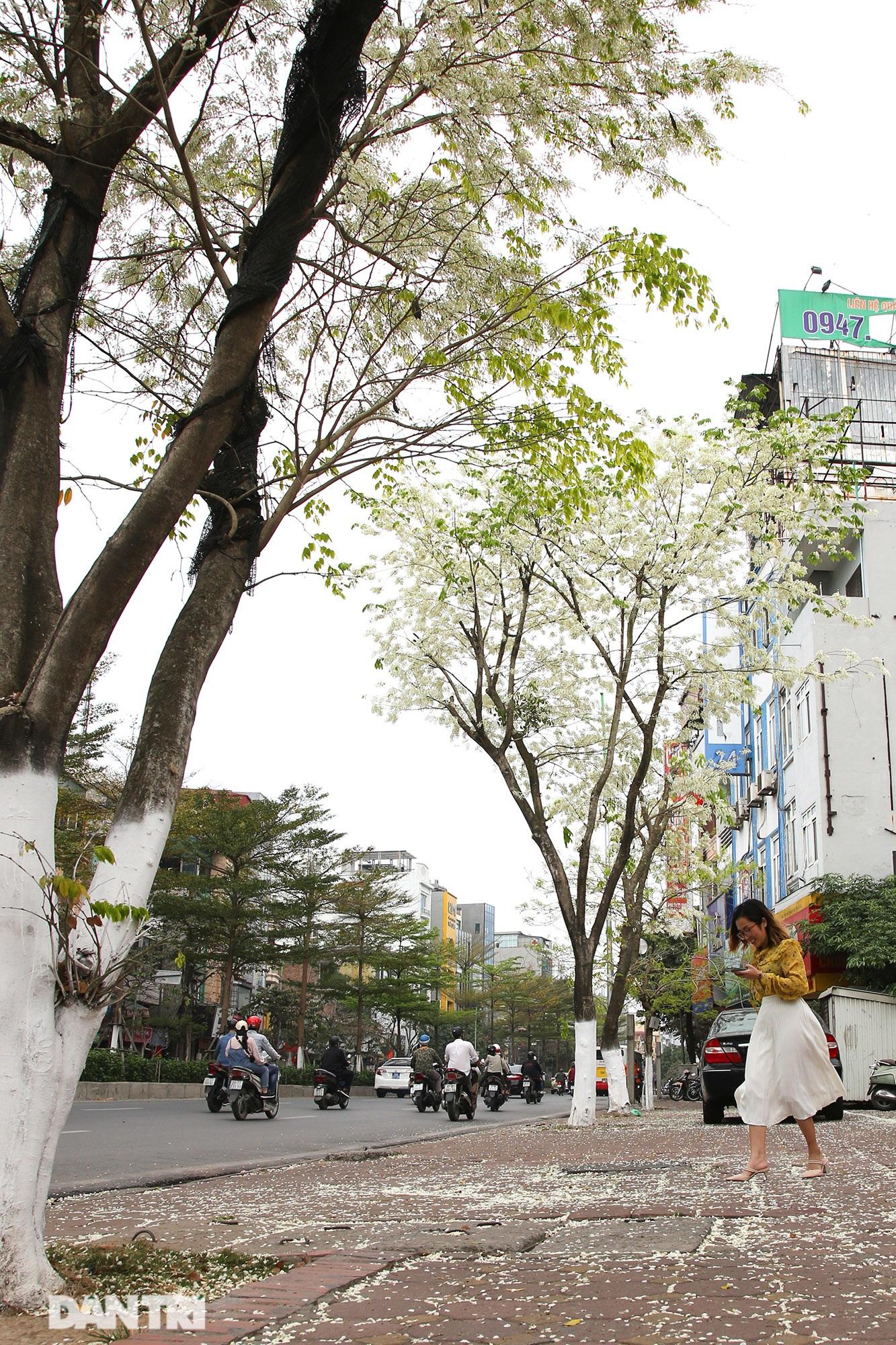 Hà Nội đẹp lạ trong mùa hoa sưa nở trắng tinh khôi - 6